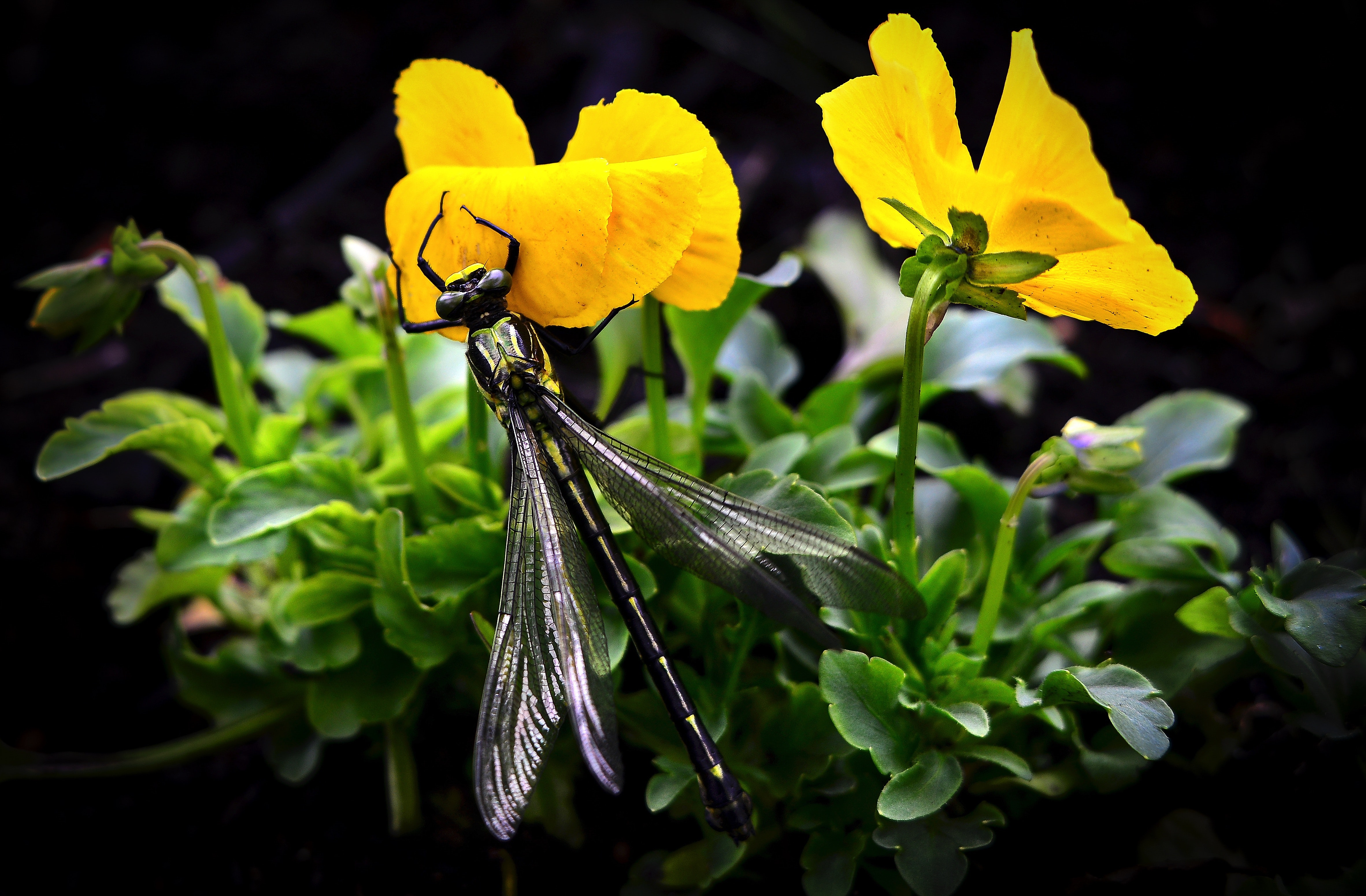 Dragonfly on yellow flowers photo