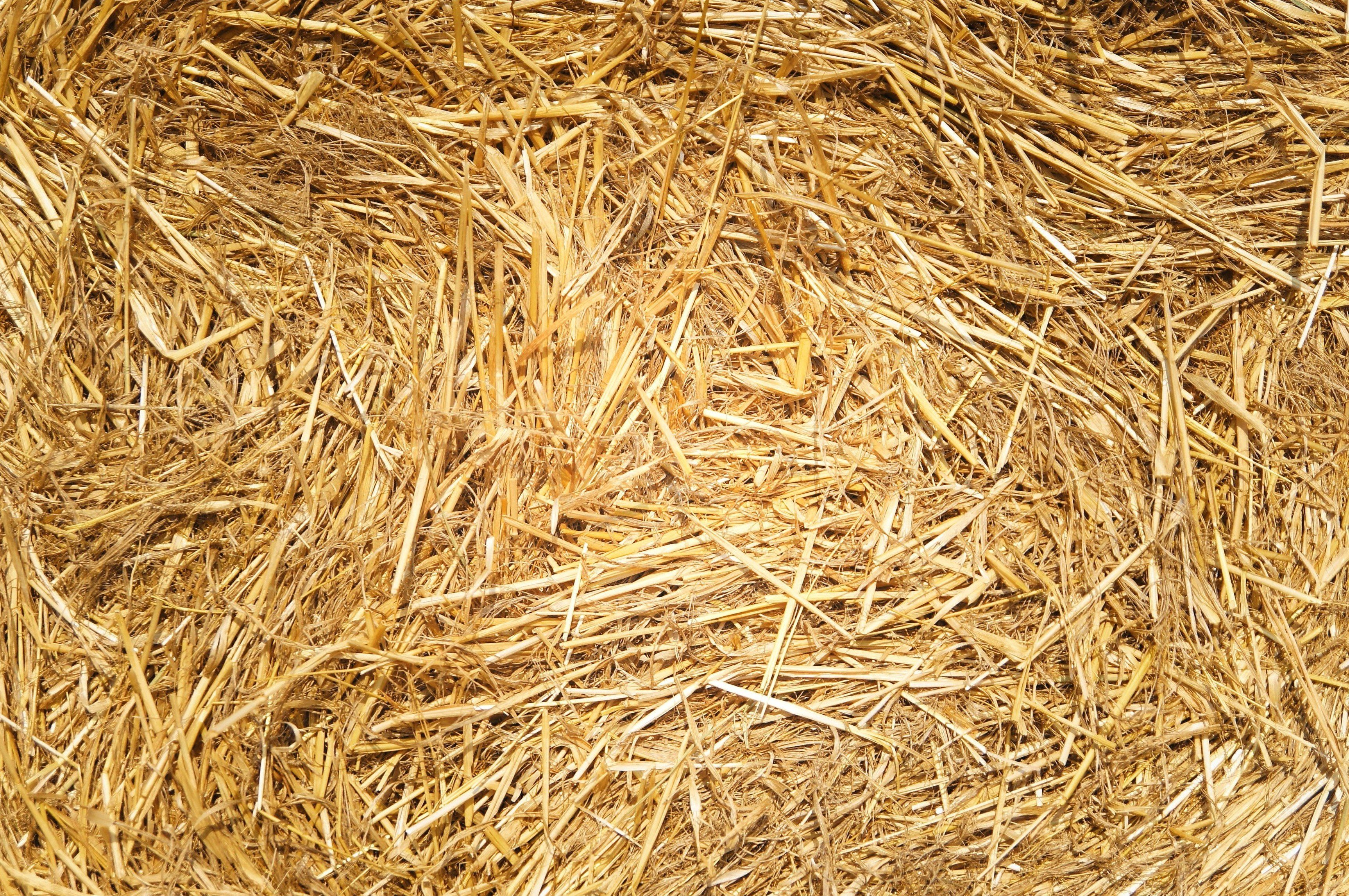 Free picture: wheat, hay, dried grass, grass, summer