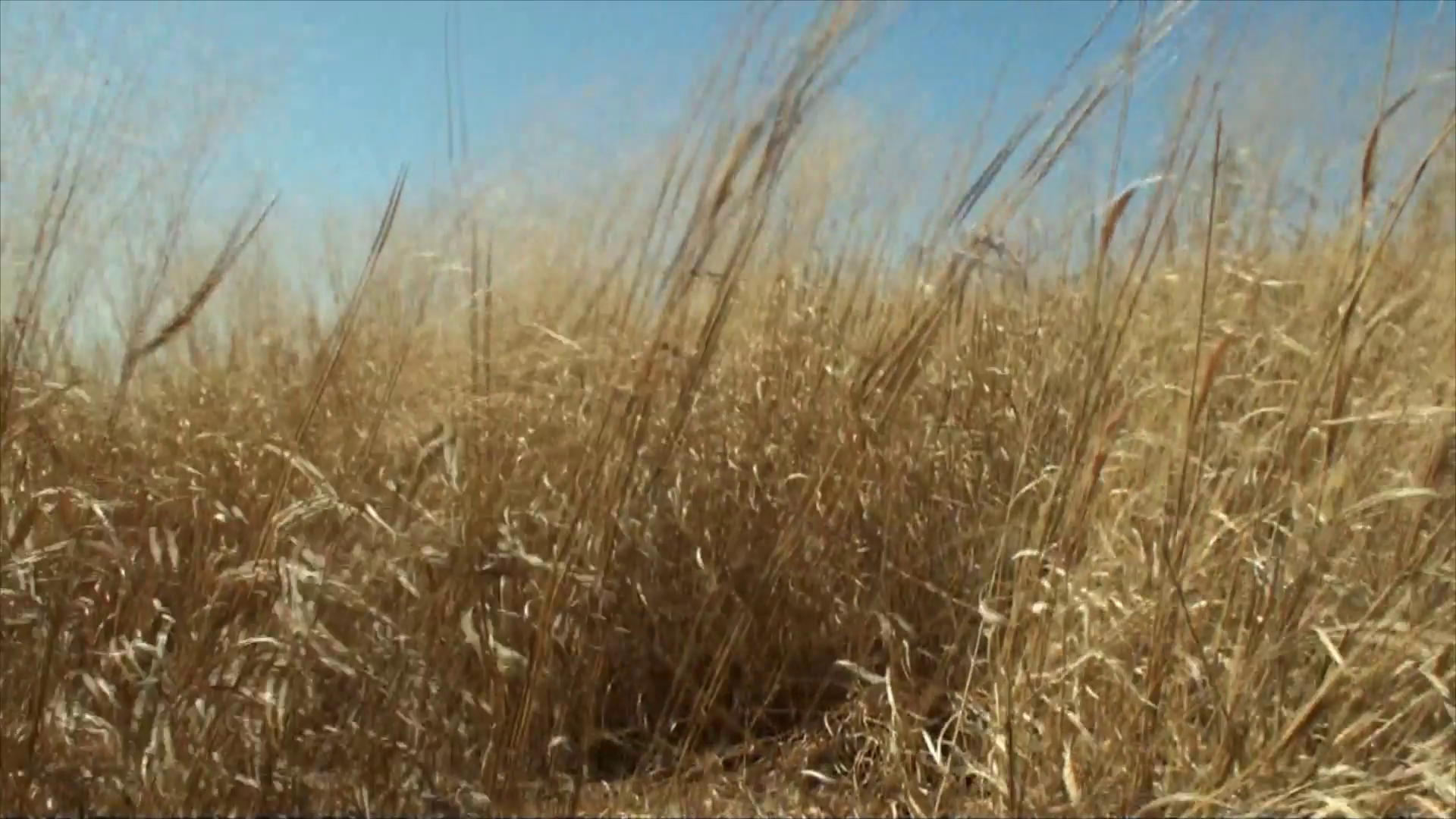 Wild tall and dried grass in very windy weather. The film was shot ...