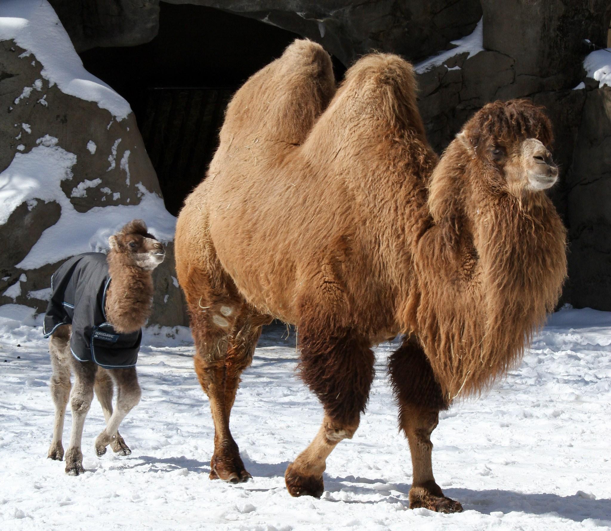 Camel Showdown: Dromedary vs Bactrian