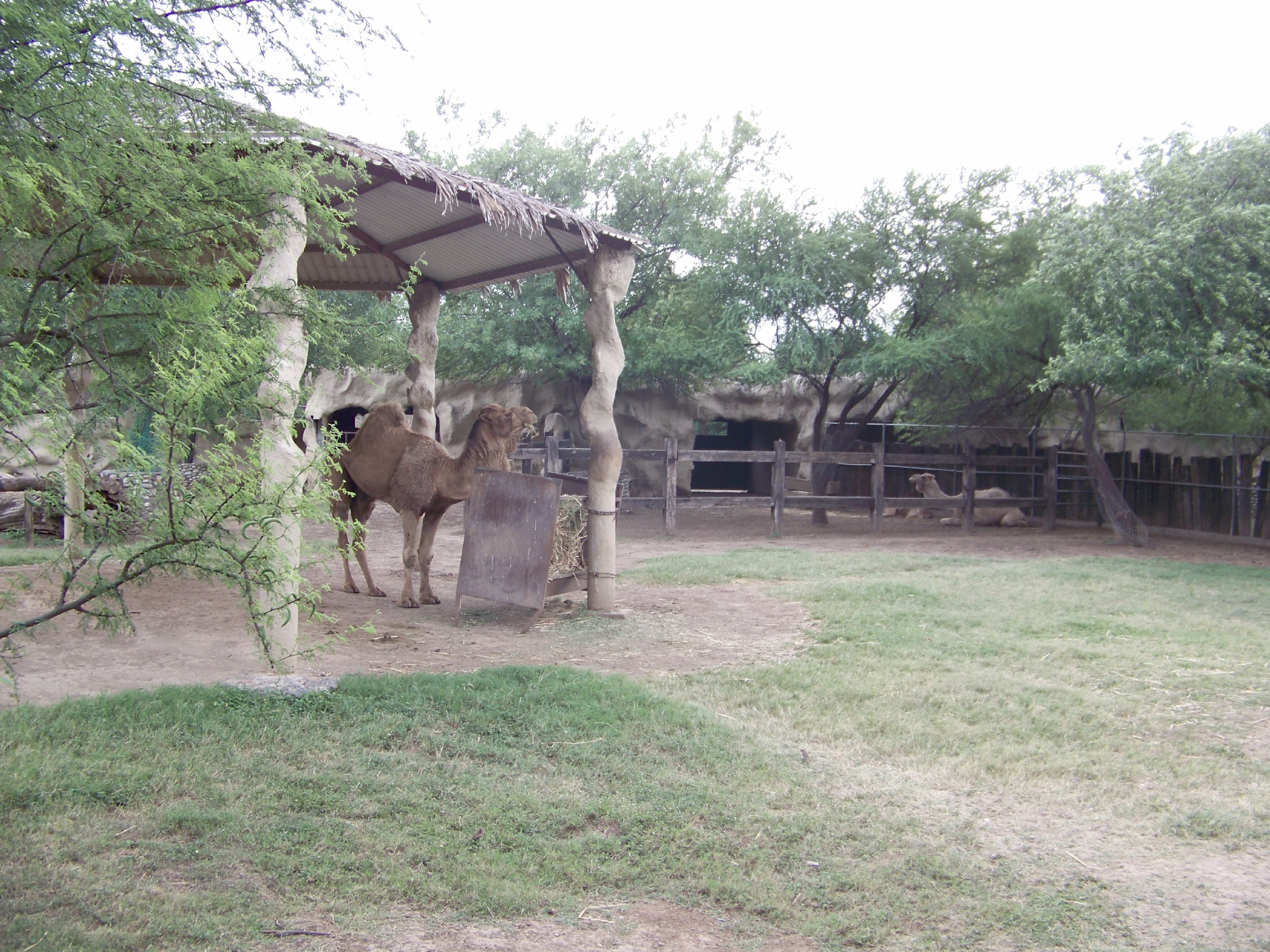 Dromedary, Africa, Resting, Isolated, Large, HQ Photo