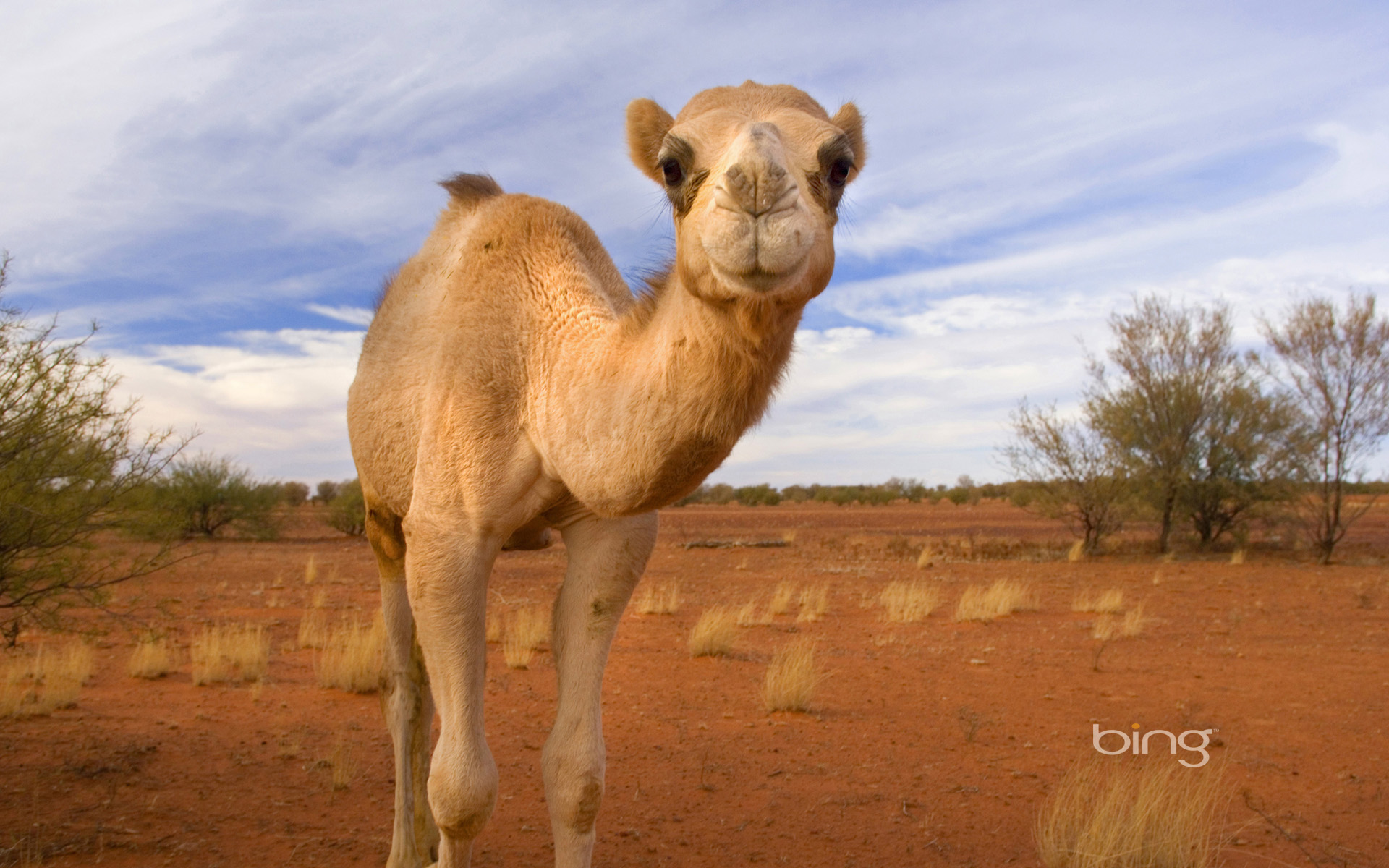 Dromedary Facts, History, Useful Information and Amazing Pictures