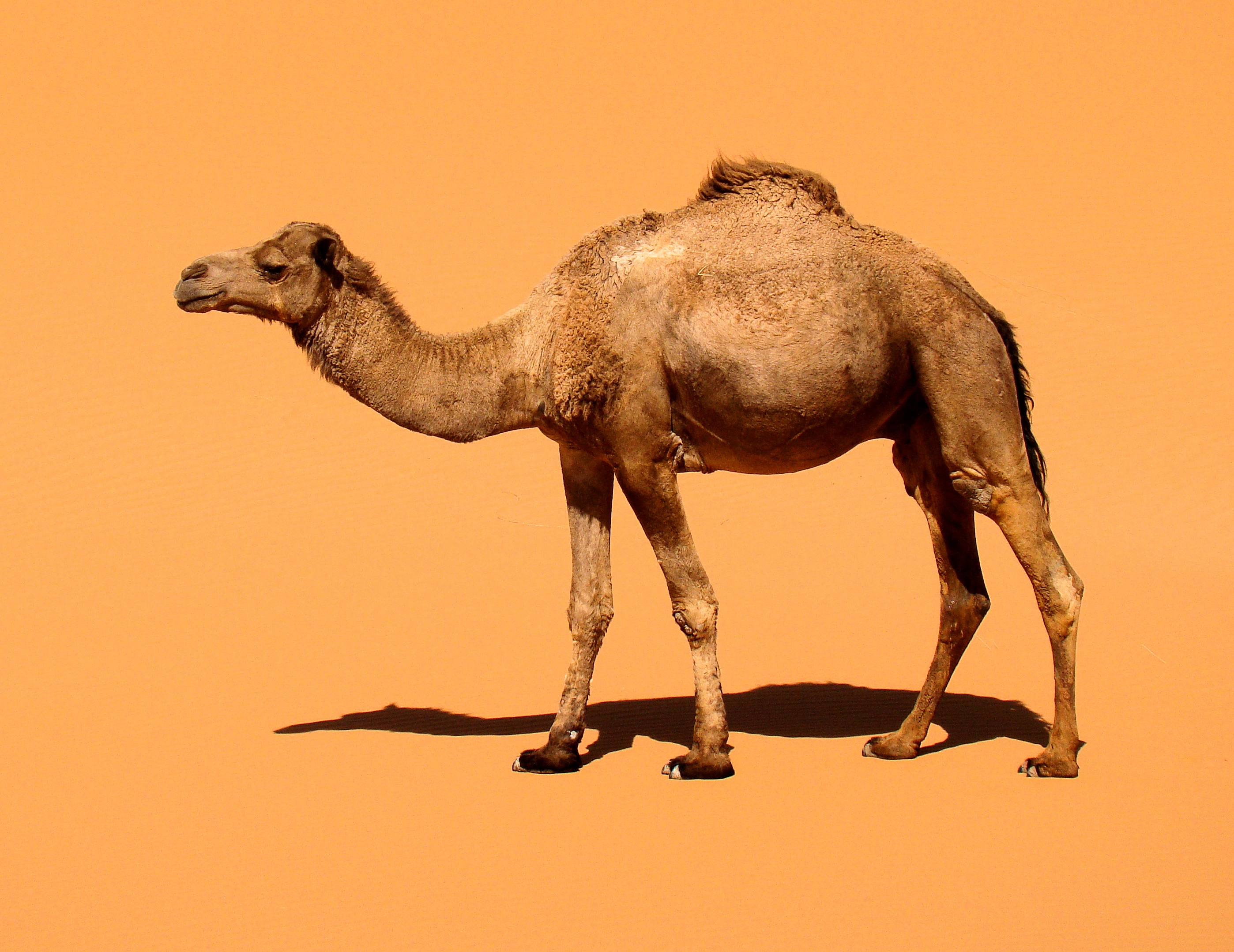 Origin of dromedary domestication discovered - HeritageDaily ...