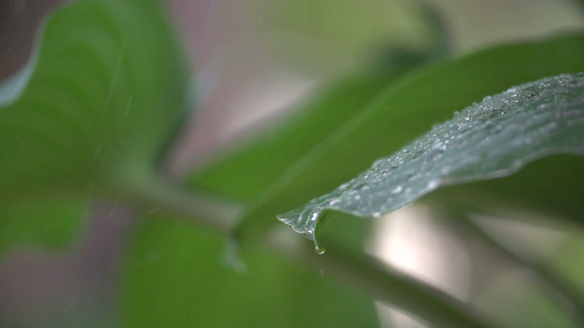 Rain droplets falling off giant leaves Stock Video Footage - Videoblocks
