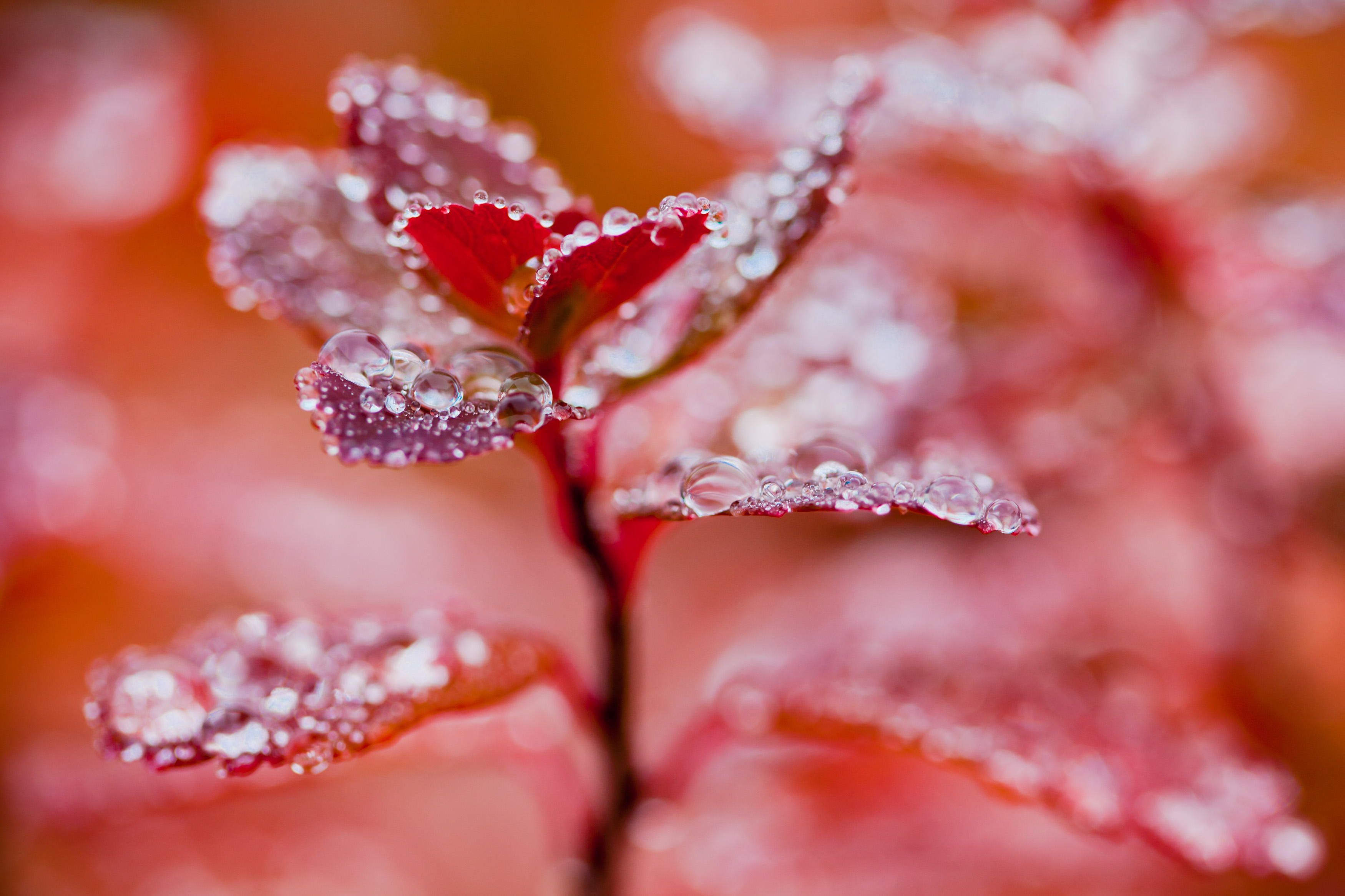 Droplets on red autumn foliage photo