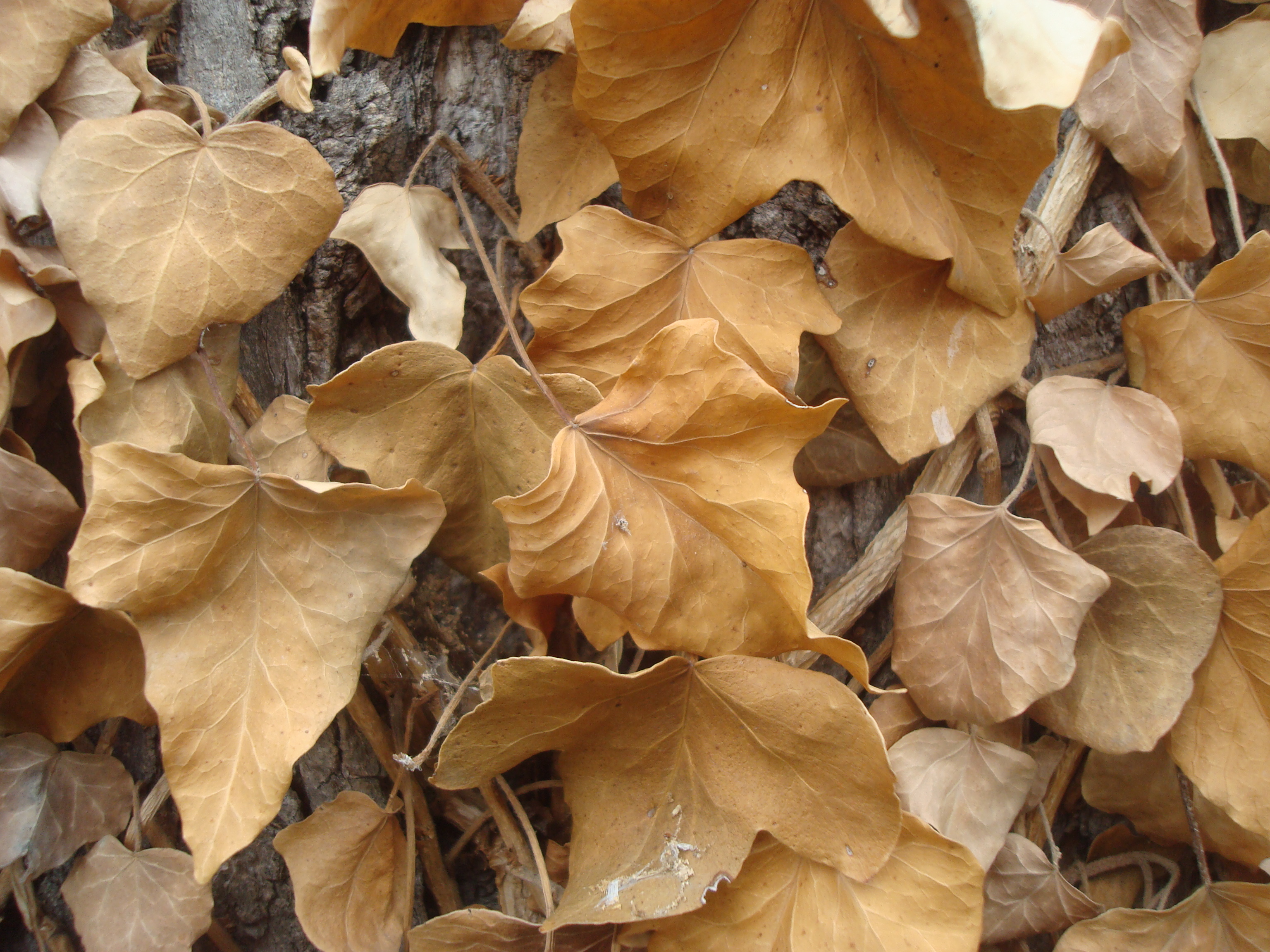 Dry autumn leafs, Autumn, Brown, Dry, Flora, HQ Photo