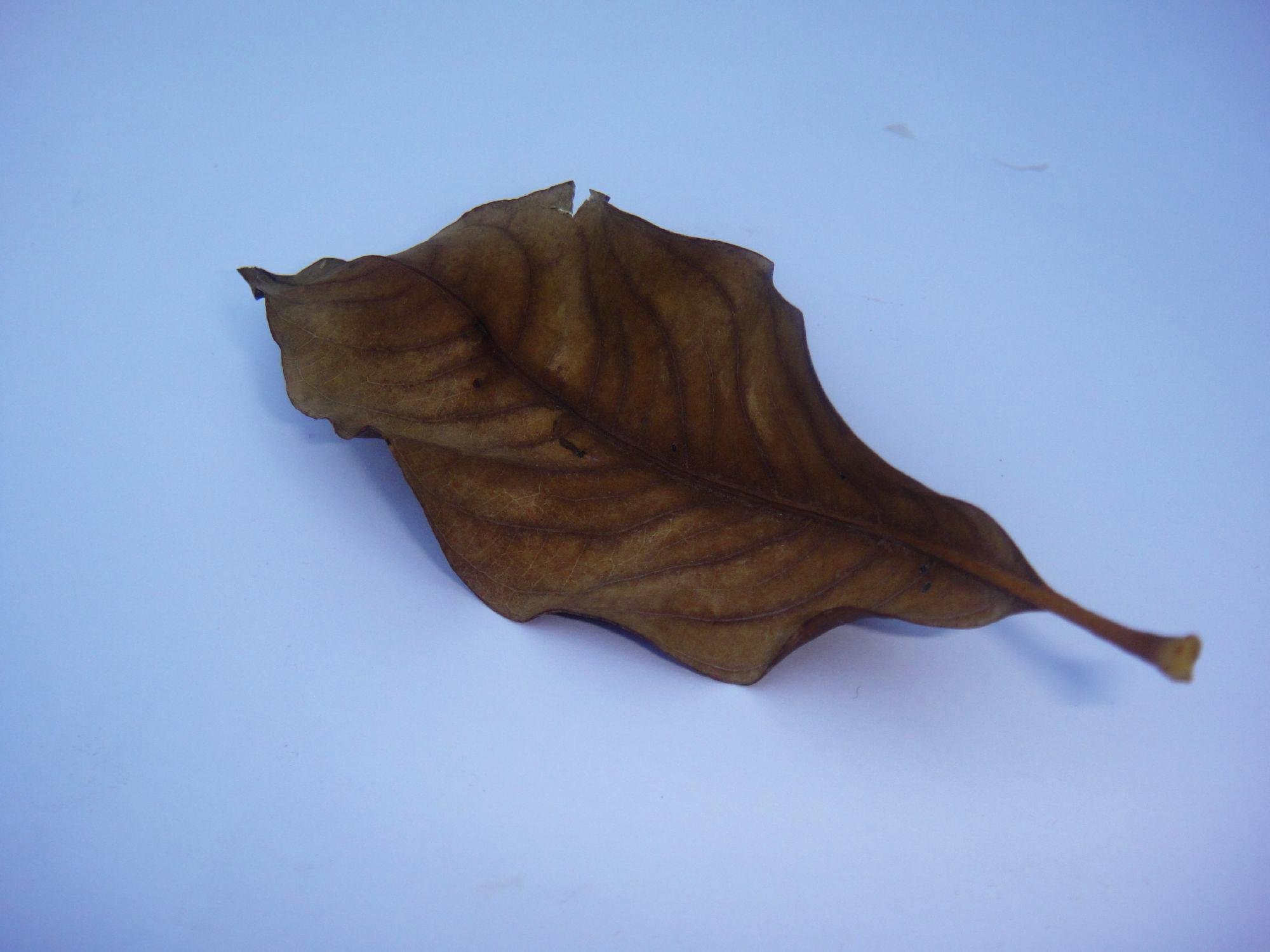 Dry leaf photo