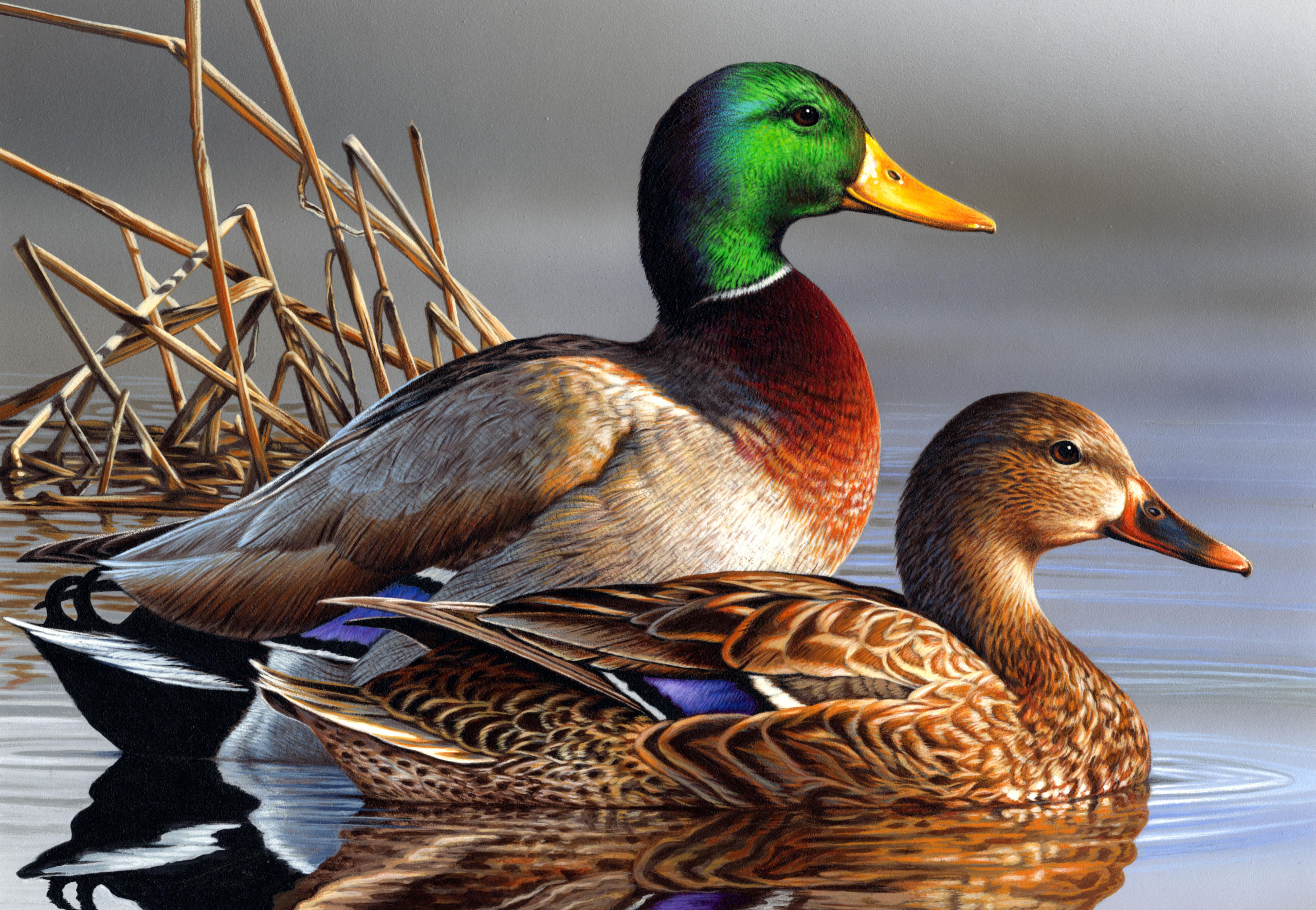 Mallard duck photo