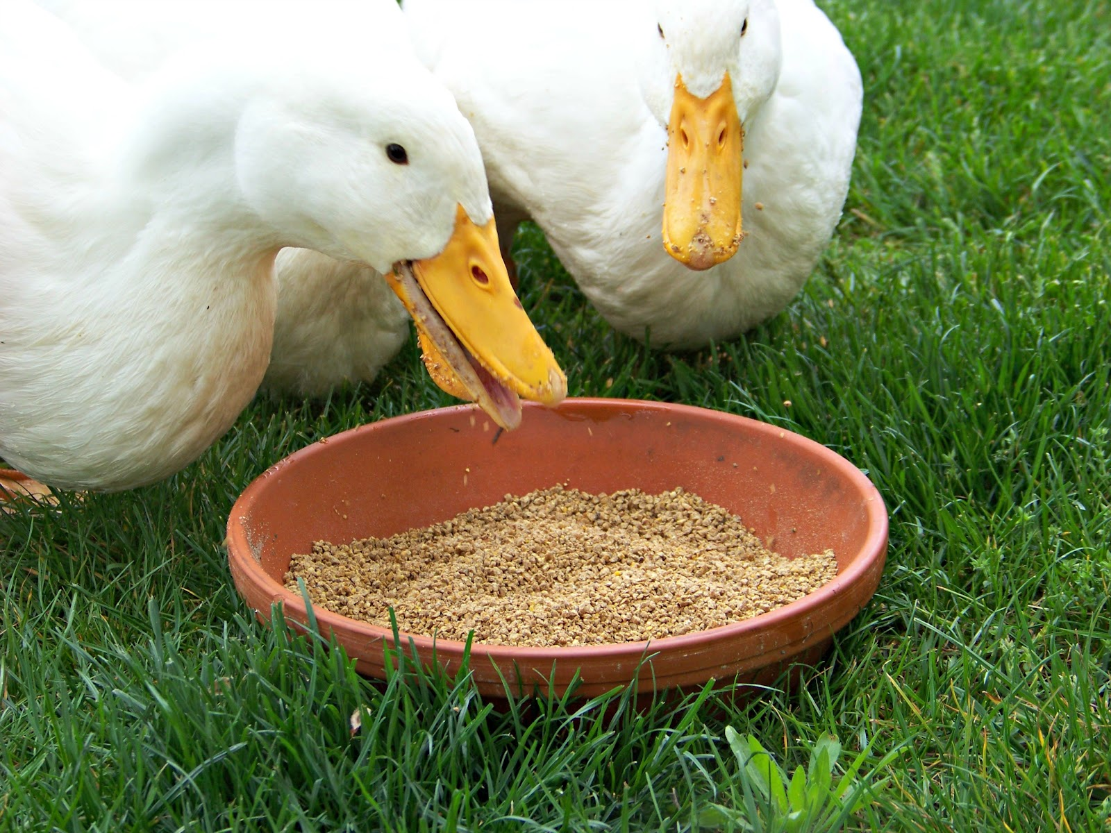 6 Easy Tips for Duck Brooding Success   Community Chickens