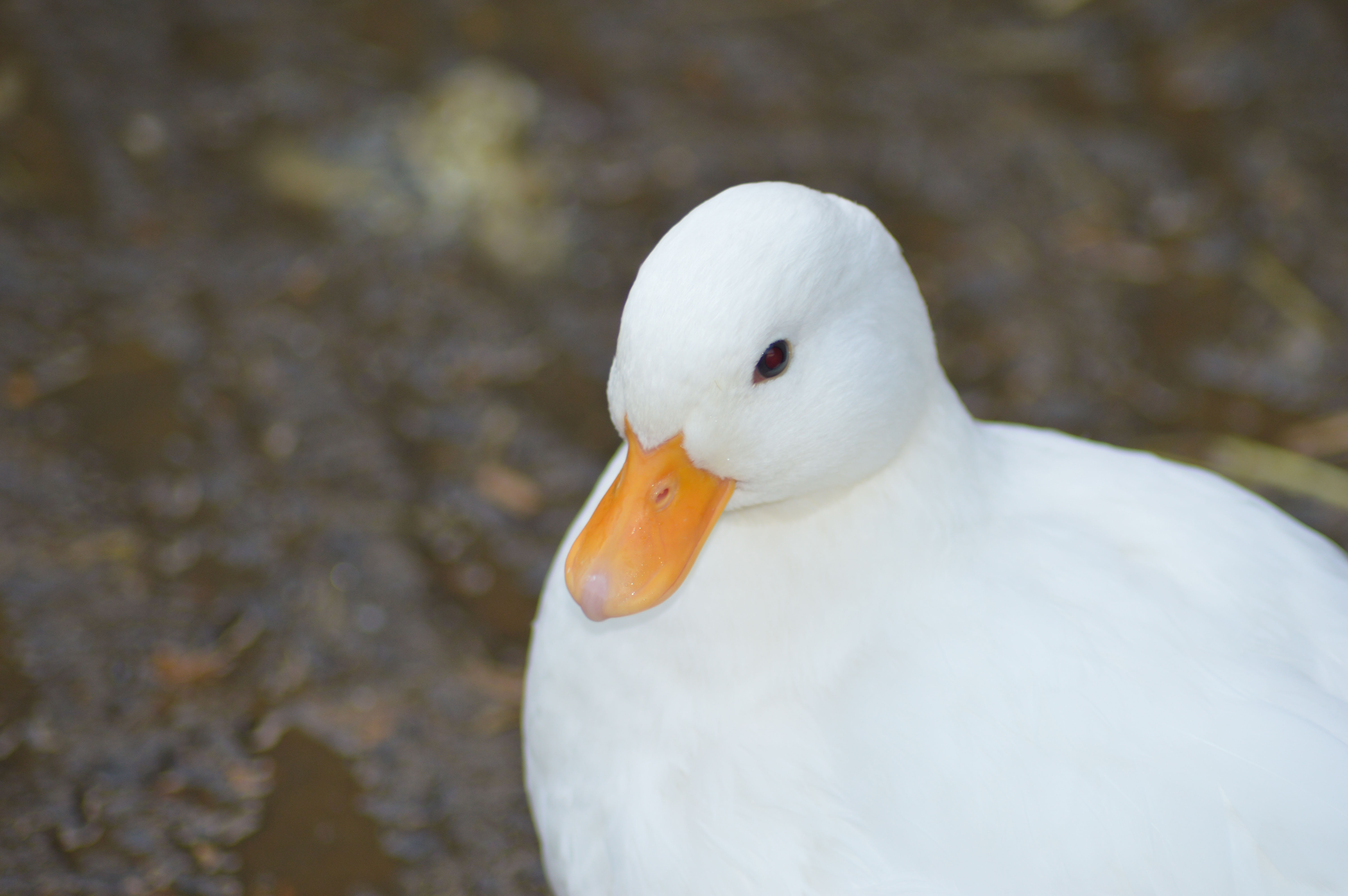Our Ducks & Geese!   Deen City Farm