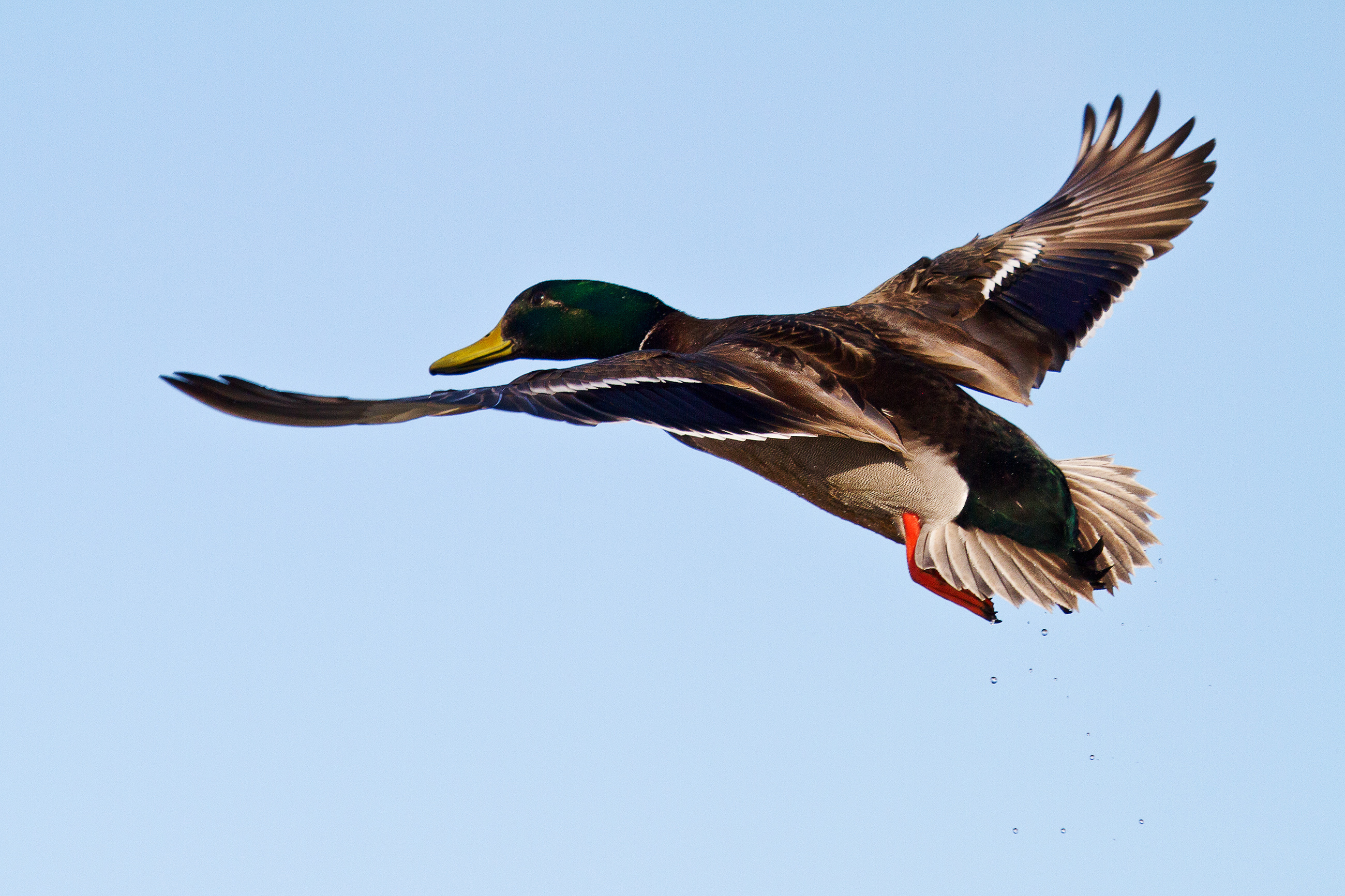 Duck, Action, Natural, Wild, Waterfowl, HQ Photo