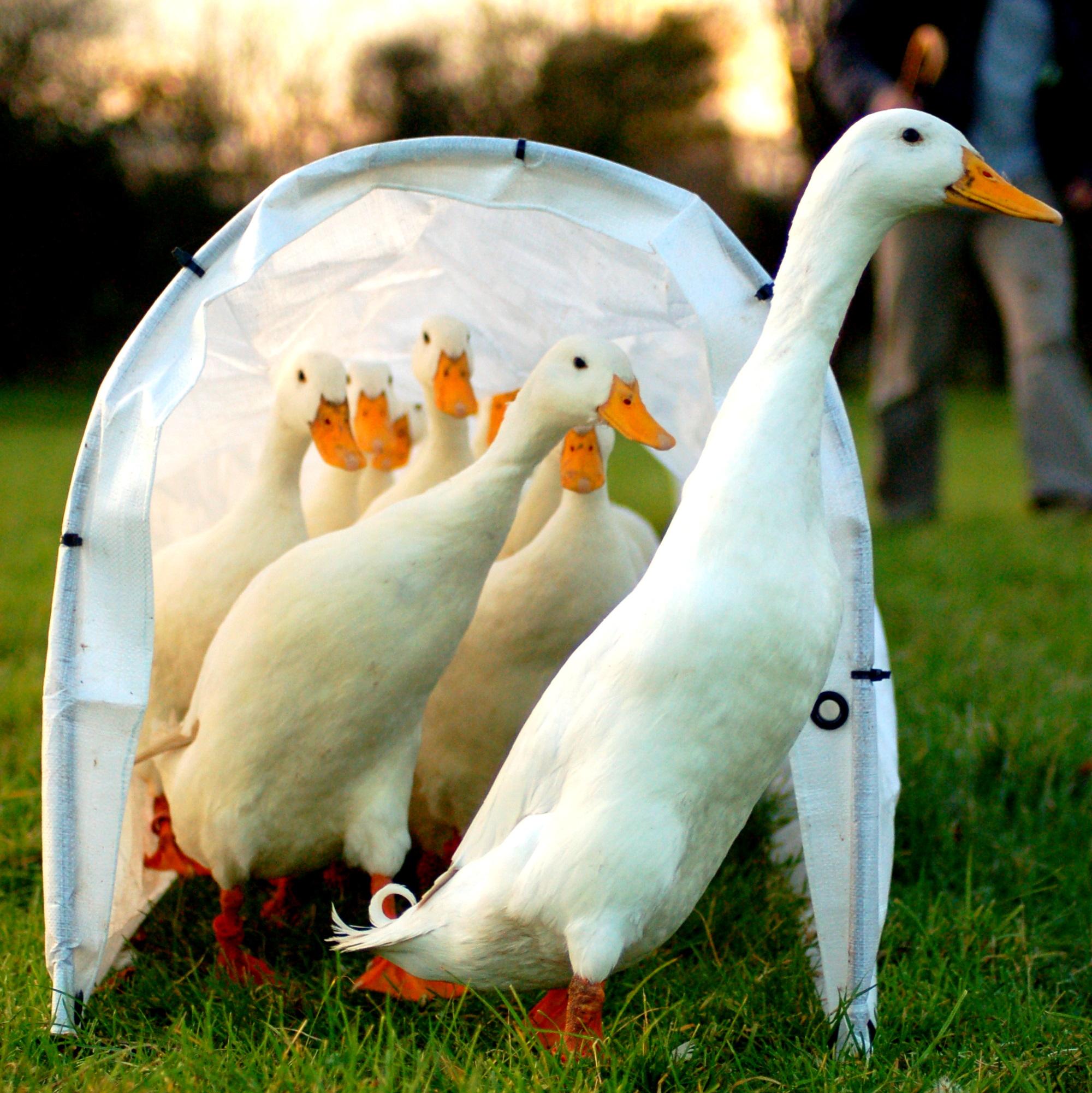Duck - Wikipedia