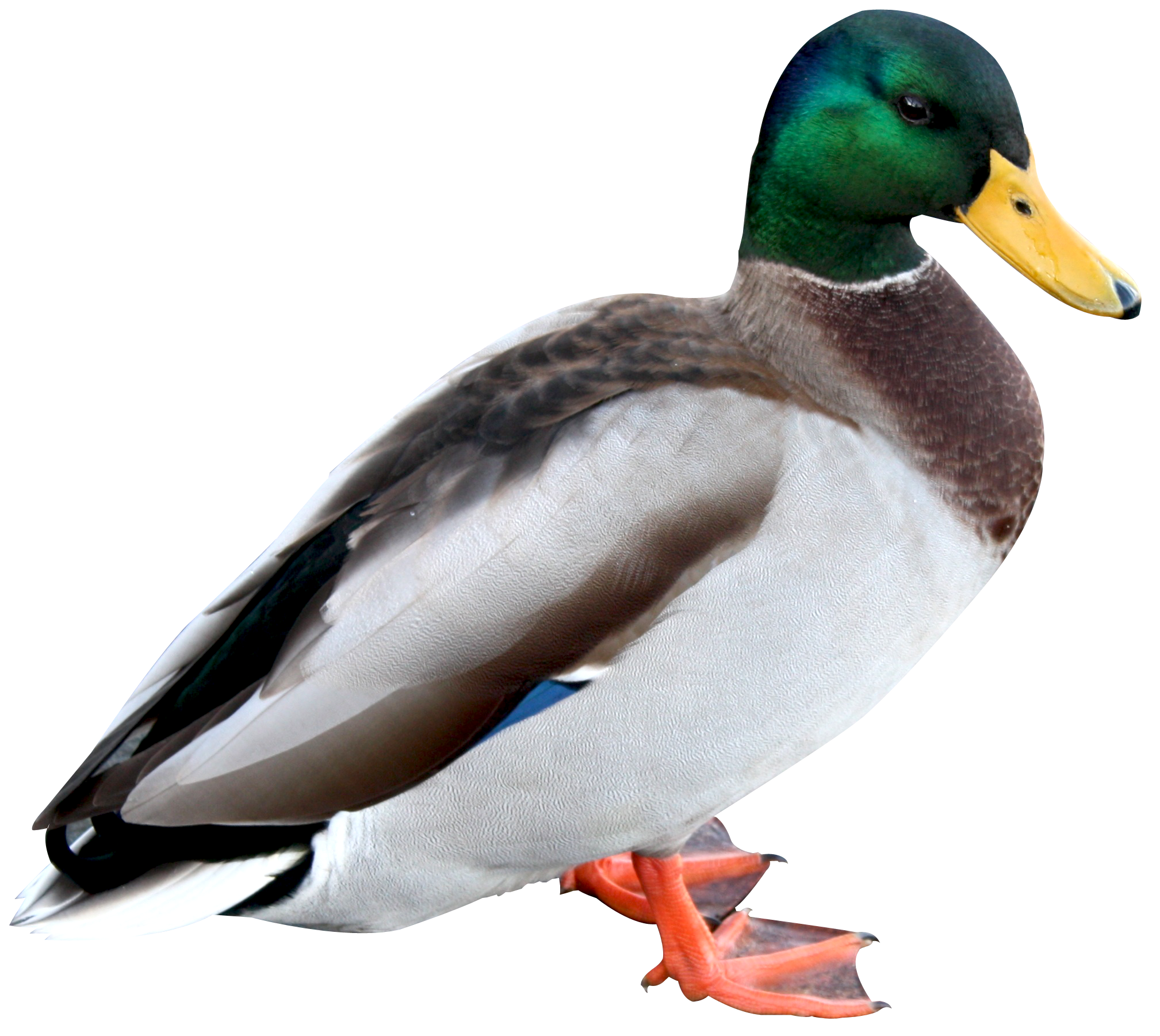 Duck HD PNG Transparent Duck HD.PNG Images. | PlusPNG