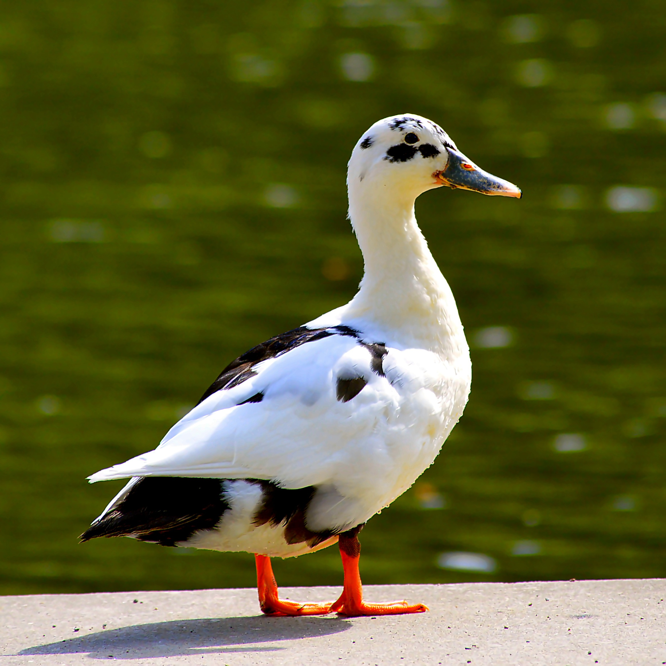 Ancona Duck – Raising Ducks