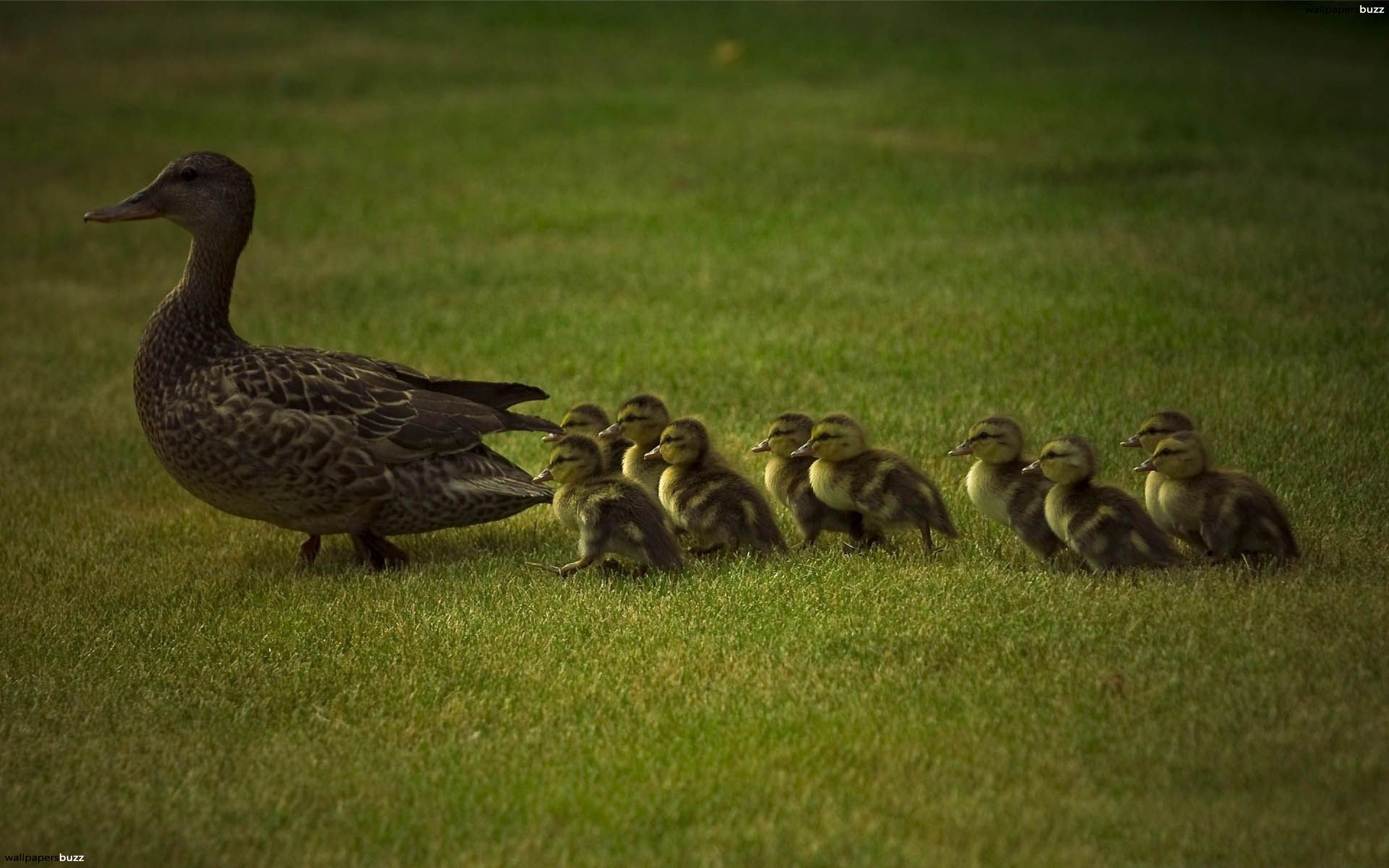 Mother duck photo