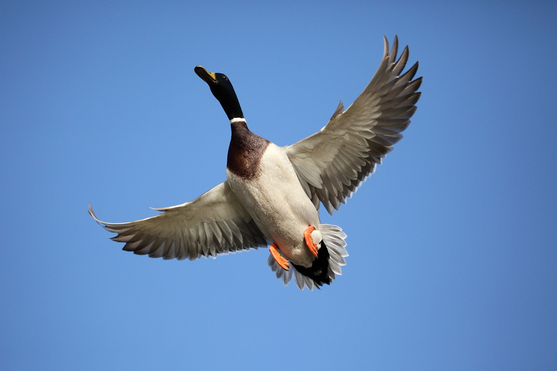 Flying ducks photo