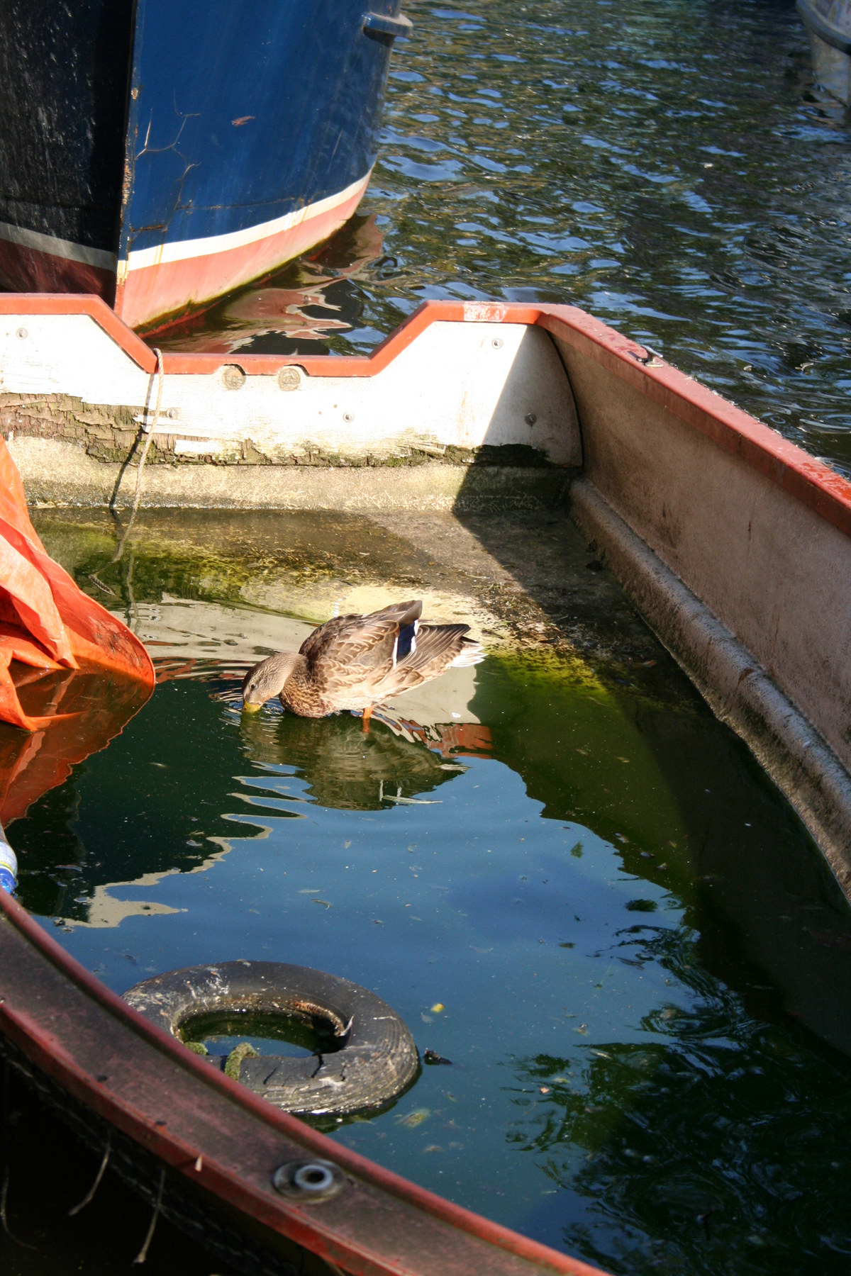 Duck in a boat photo