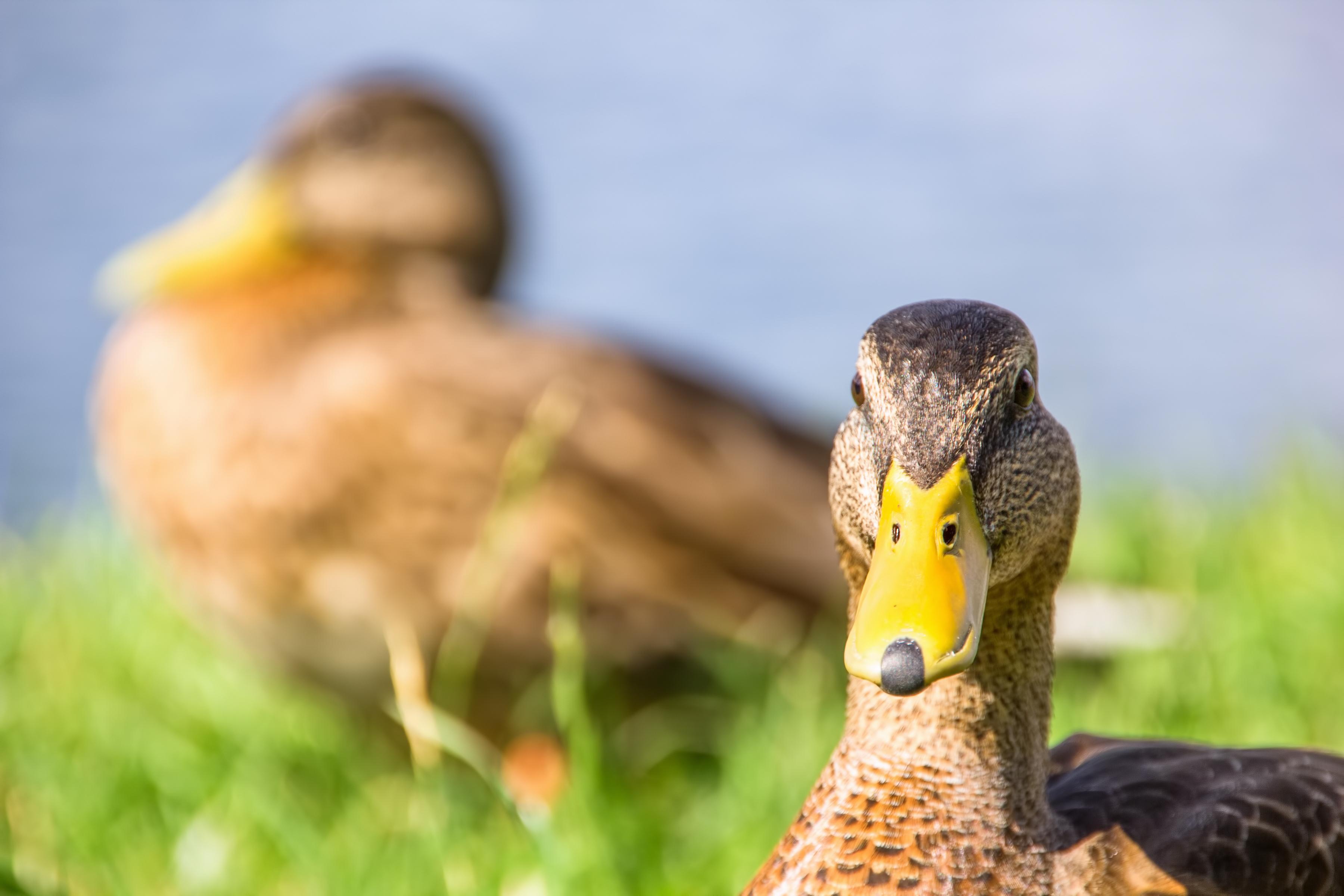 duck, Animal, Close-up, HQ Photo