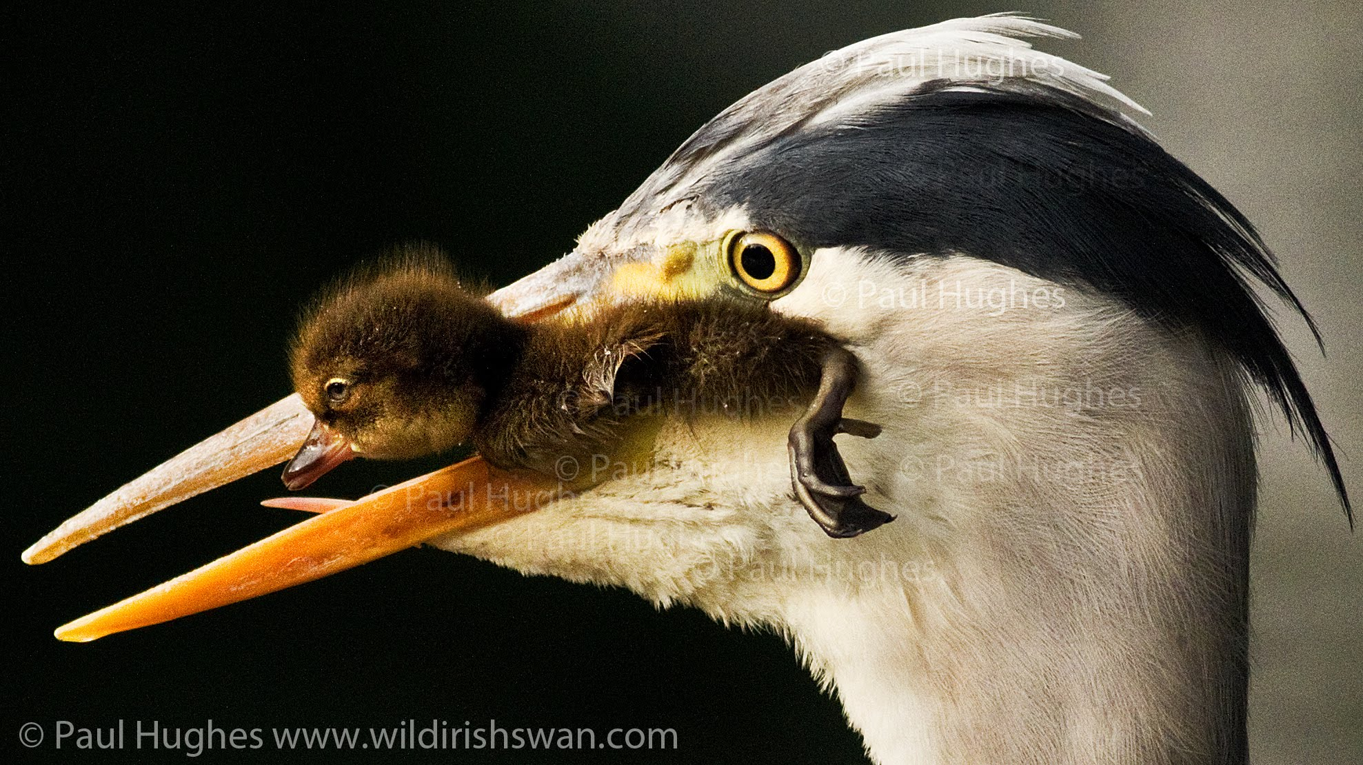 Heron eat ducklings in front of distraught and attacking mother ...