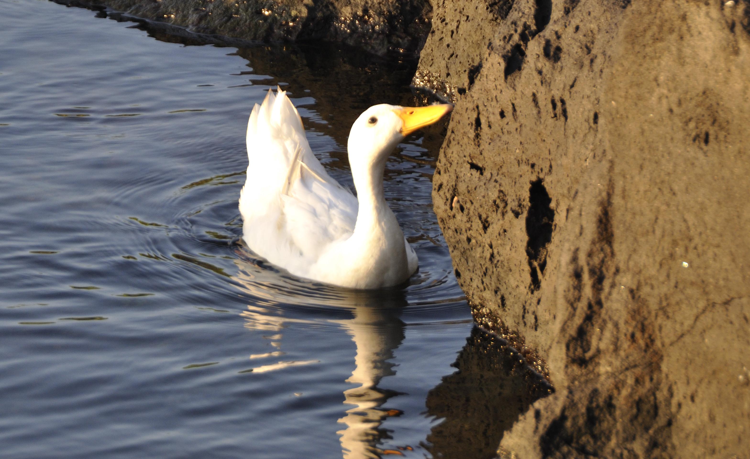 Ducks at porto ulisse ognina catania sicilia taly - creative commons by gnuckx photo