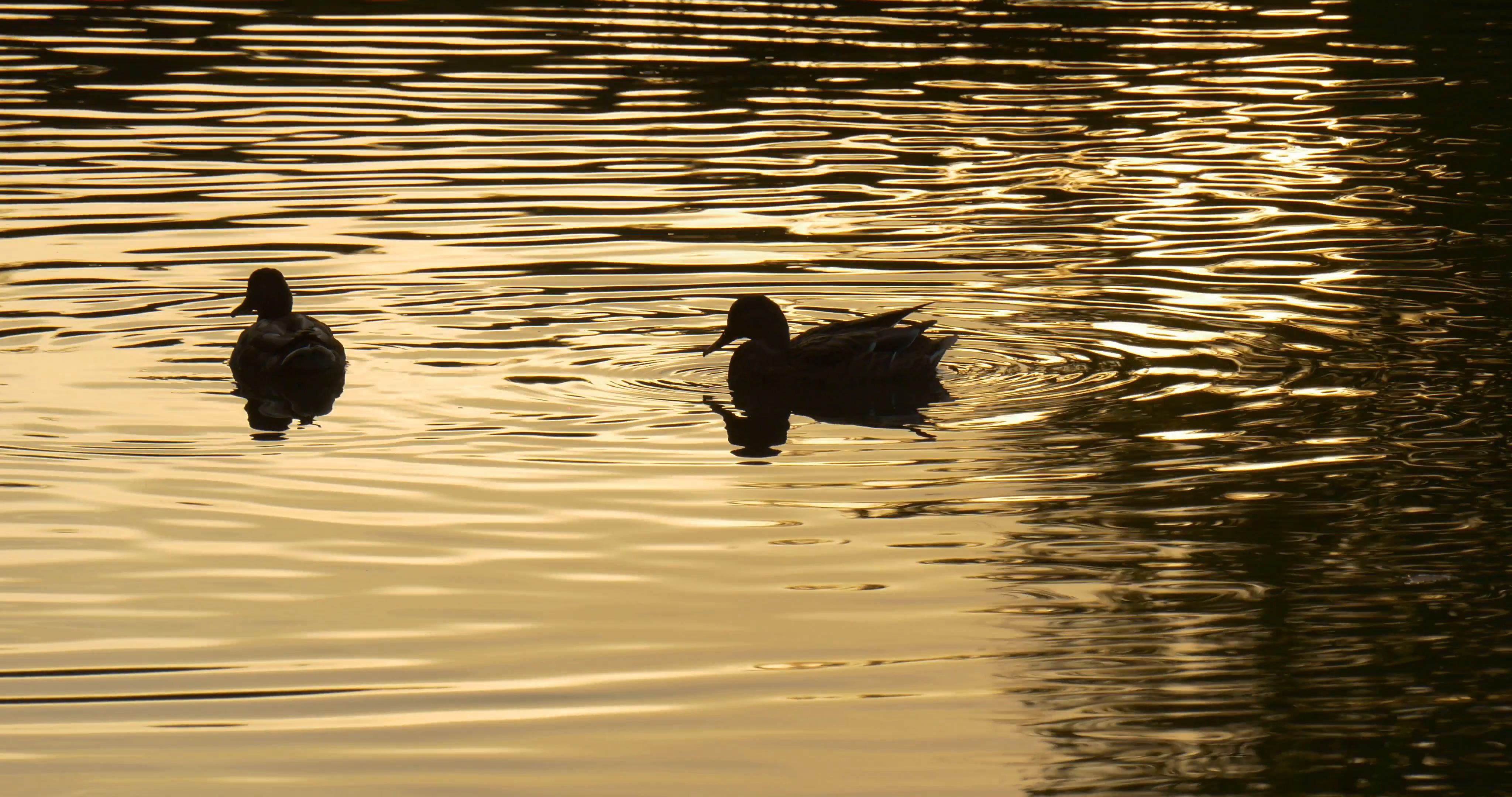 Two ducks photo