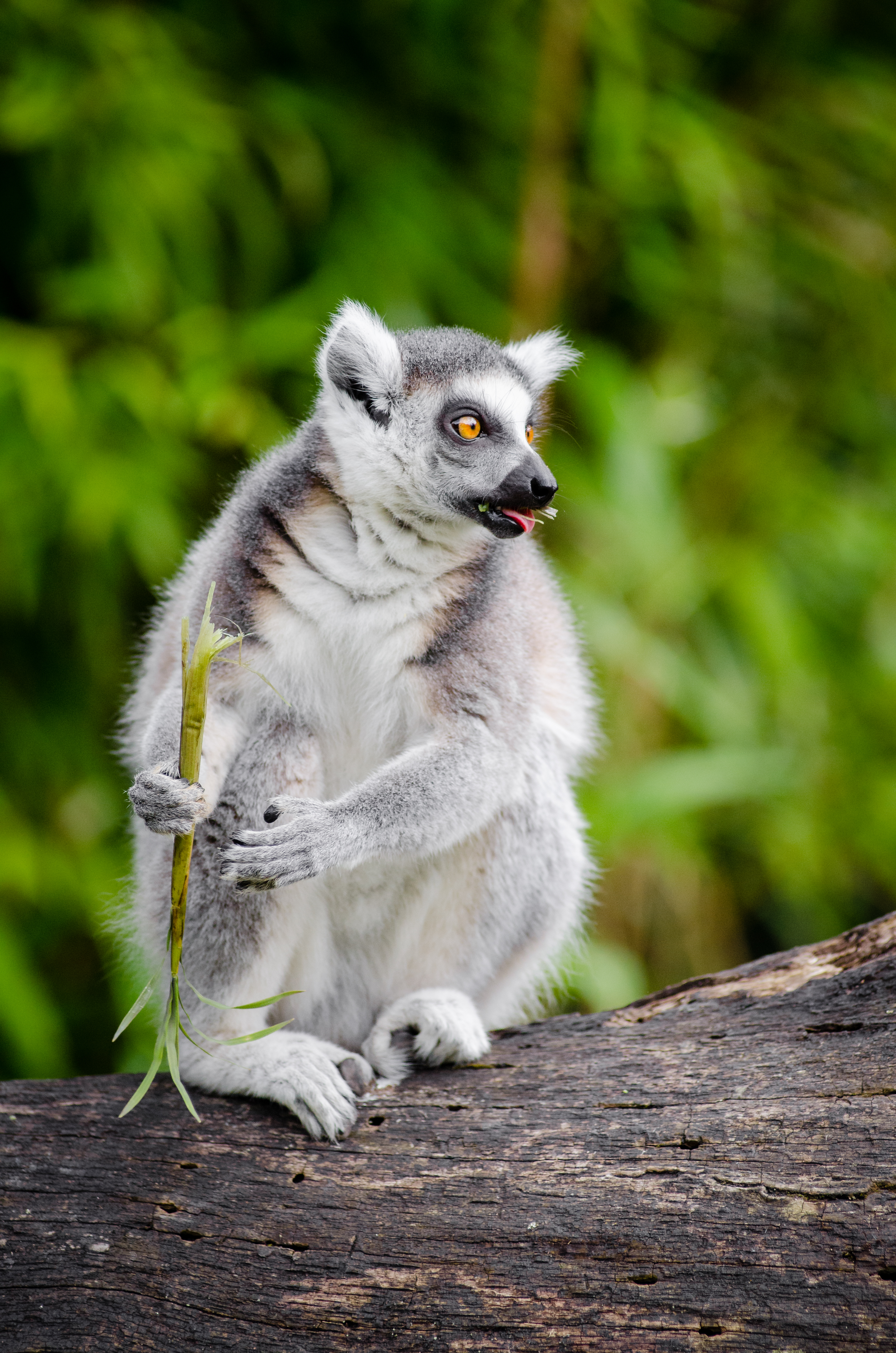 Duisburg 20160705 MAP_0724, Outdoor, Pet, Zoo, Madagascar, HQ Photo