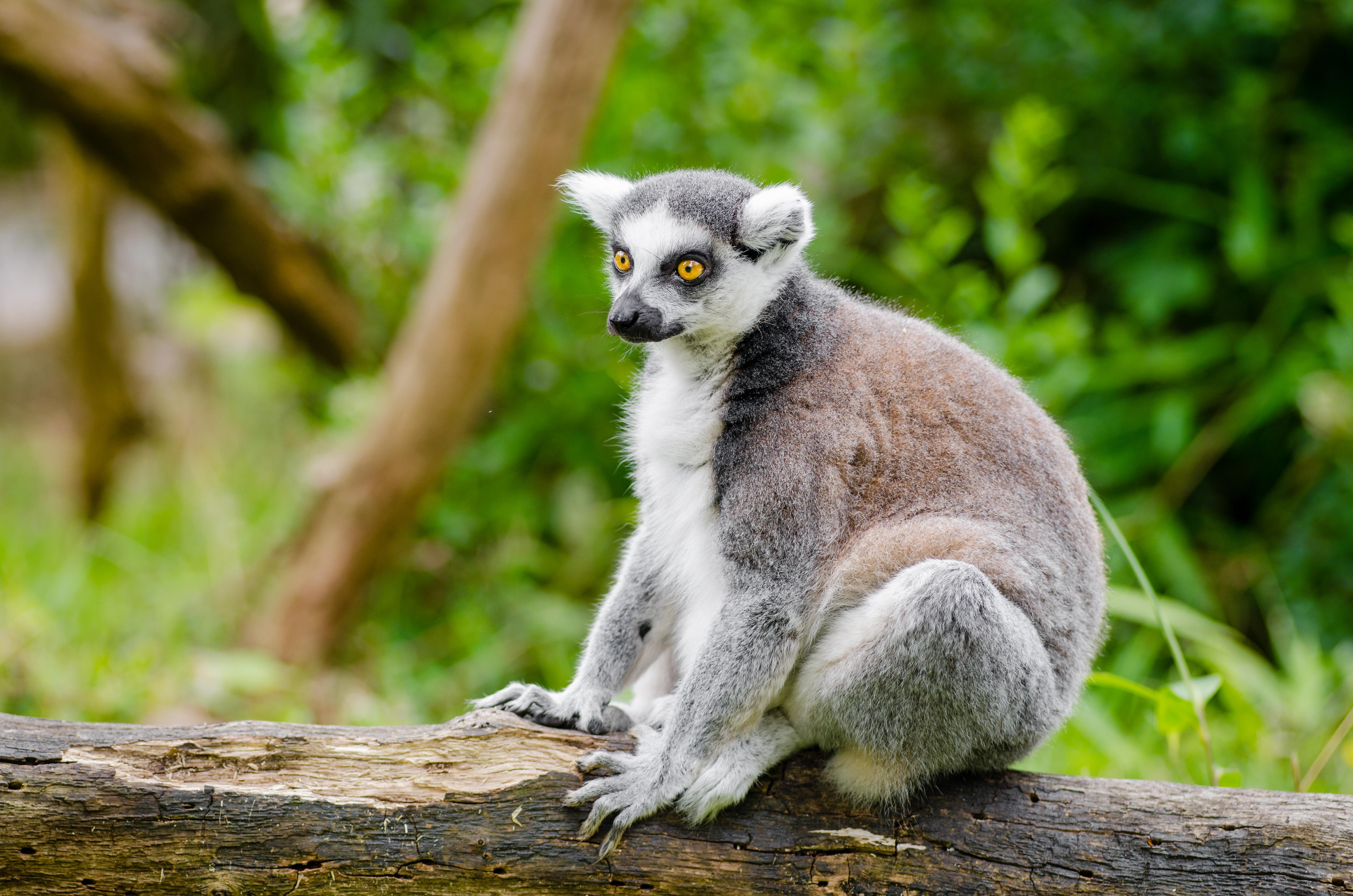 Duisburg 20160705 MAP_0768, Animal, Depth of field, Lemur, Madagascar, HQ Photo