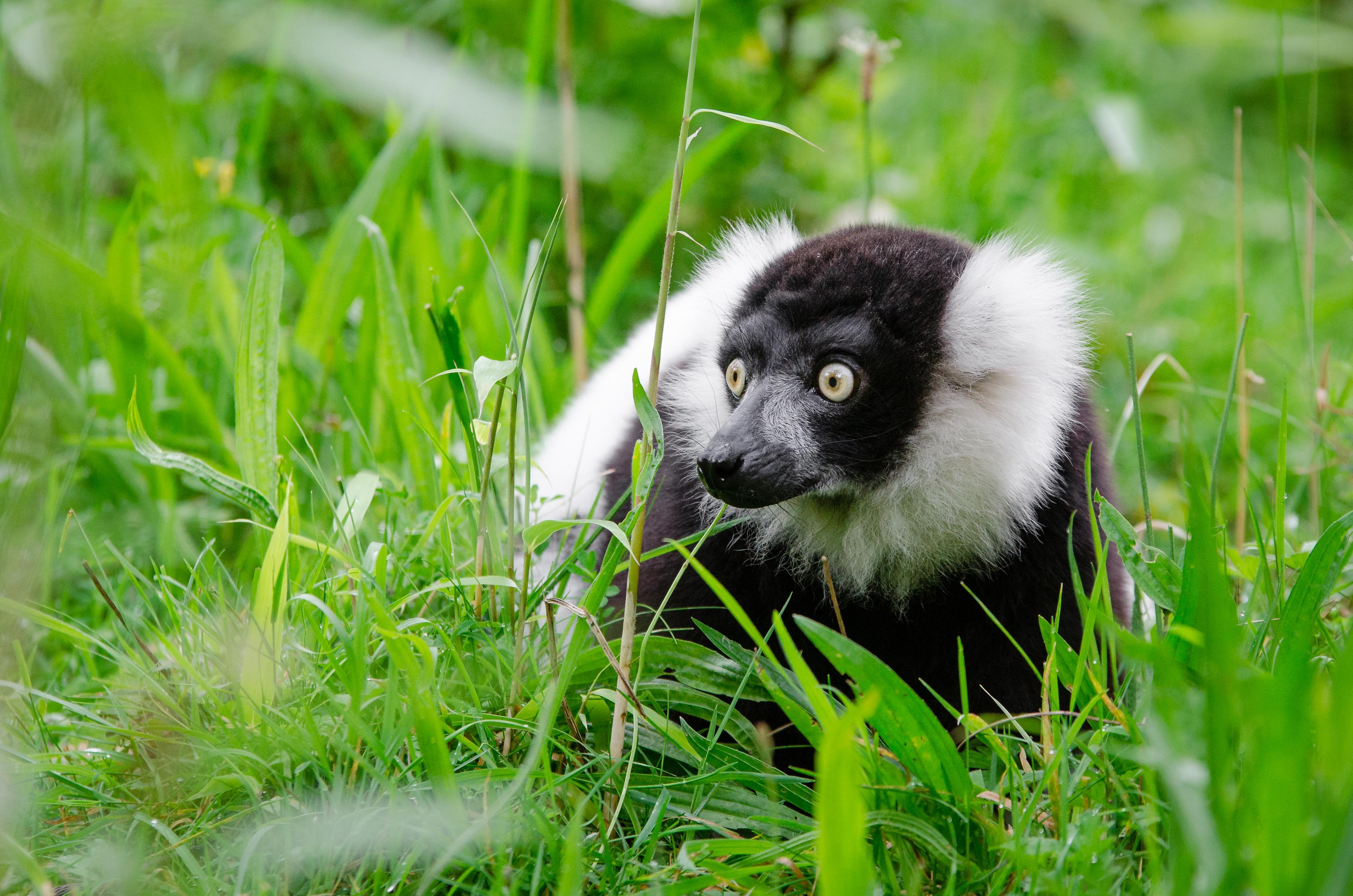 Duisburg 20160820 MAP_7577, Animal, Cat, Lemur, Madagascar, HQ Photo