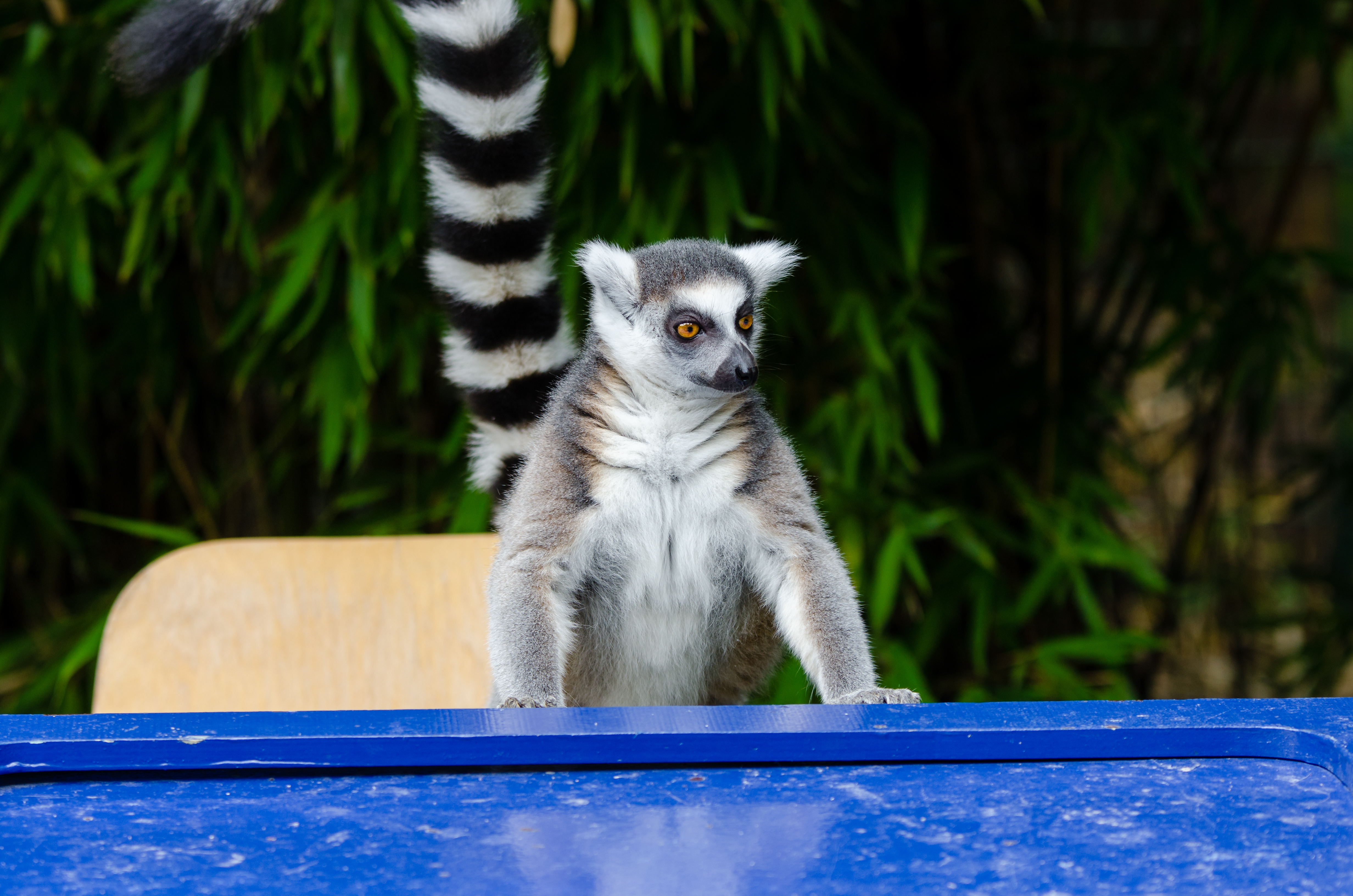 Duisburg 20160828 MAP_8837, Animal, Cat, Lemur, Madagascar, HQ Photo