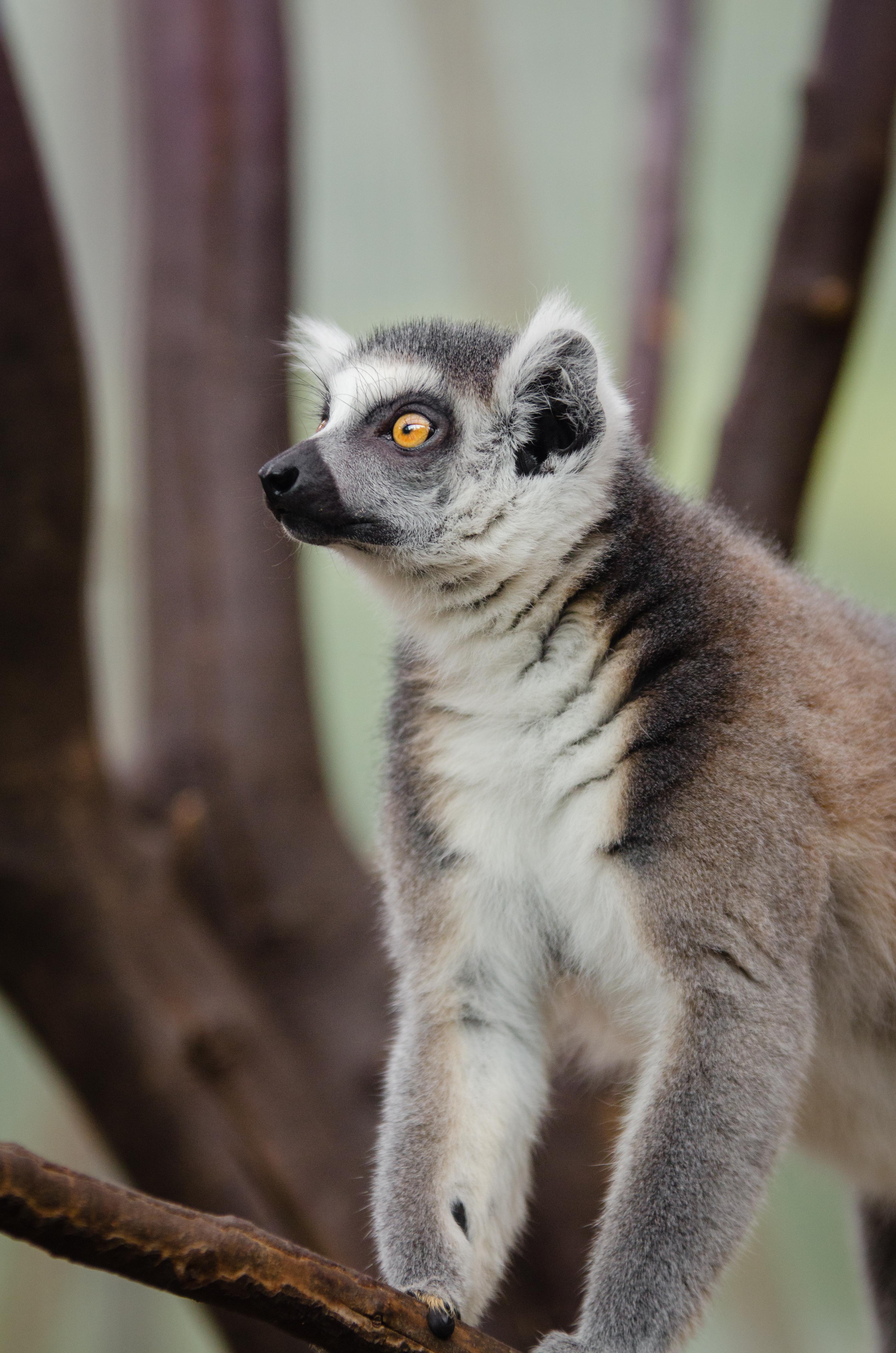Duisburg 20160903 MAP_9552, Animal, Cat, Lemur, Madagascar, HQ Photo