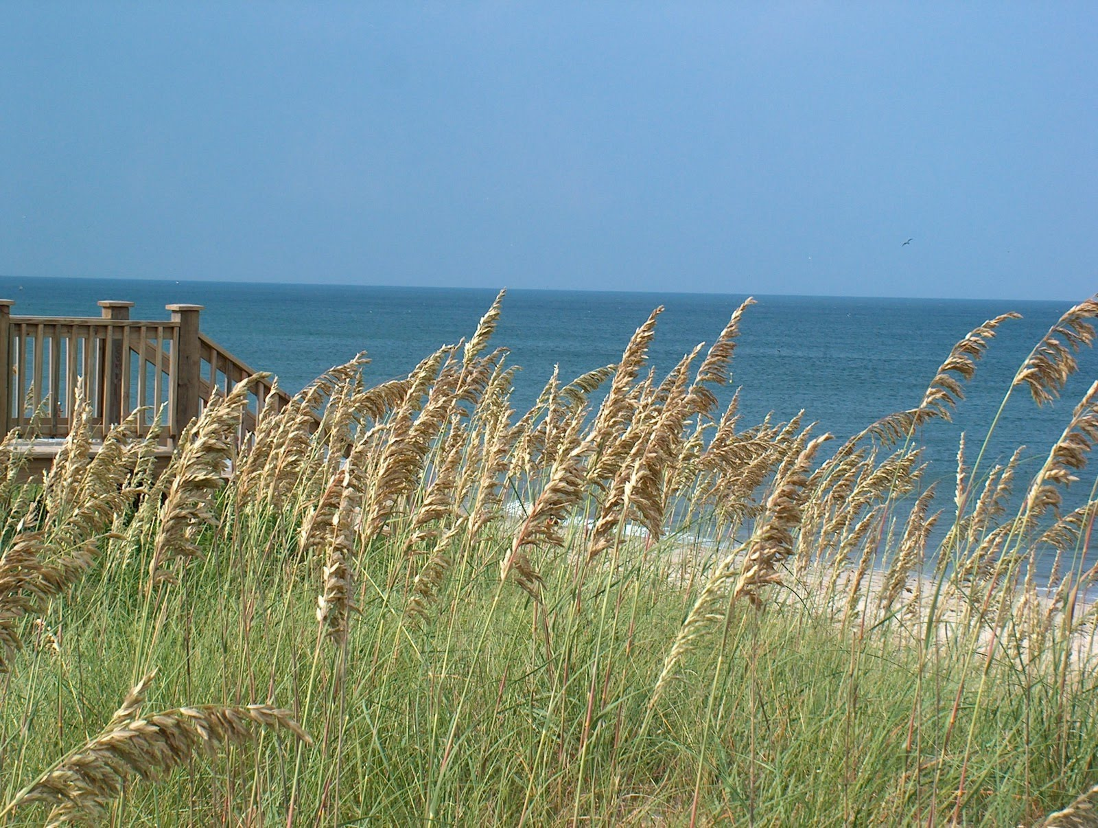The Hardy Sea Oat Dune Grass - YouTube