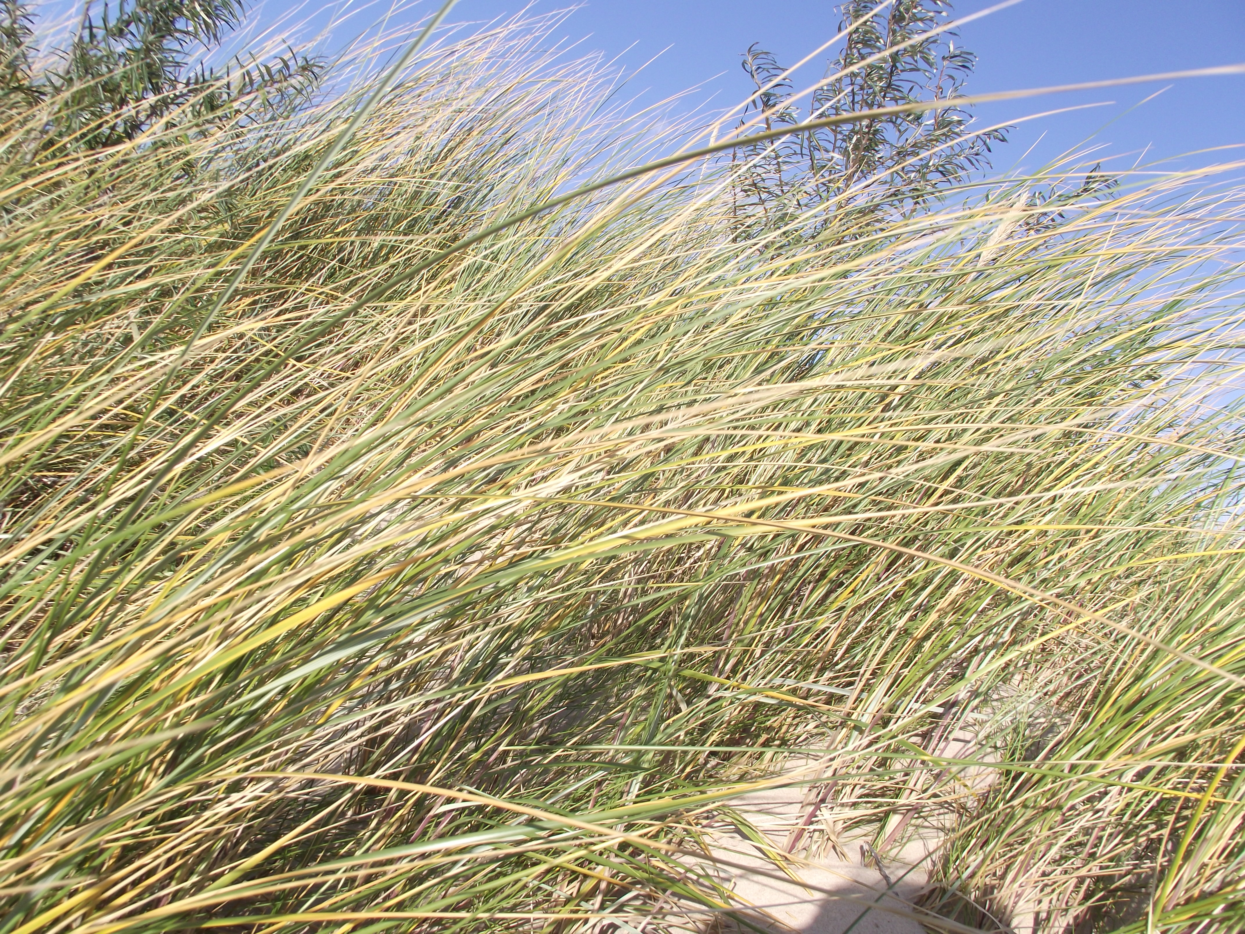 Dune grasses, 2012, Latvia, Ventspils, Sand, HQ Photo