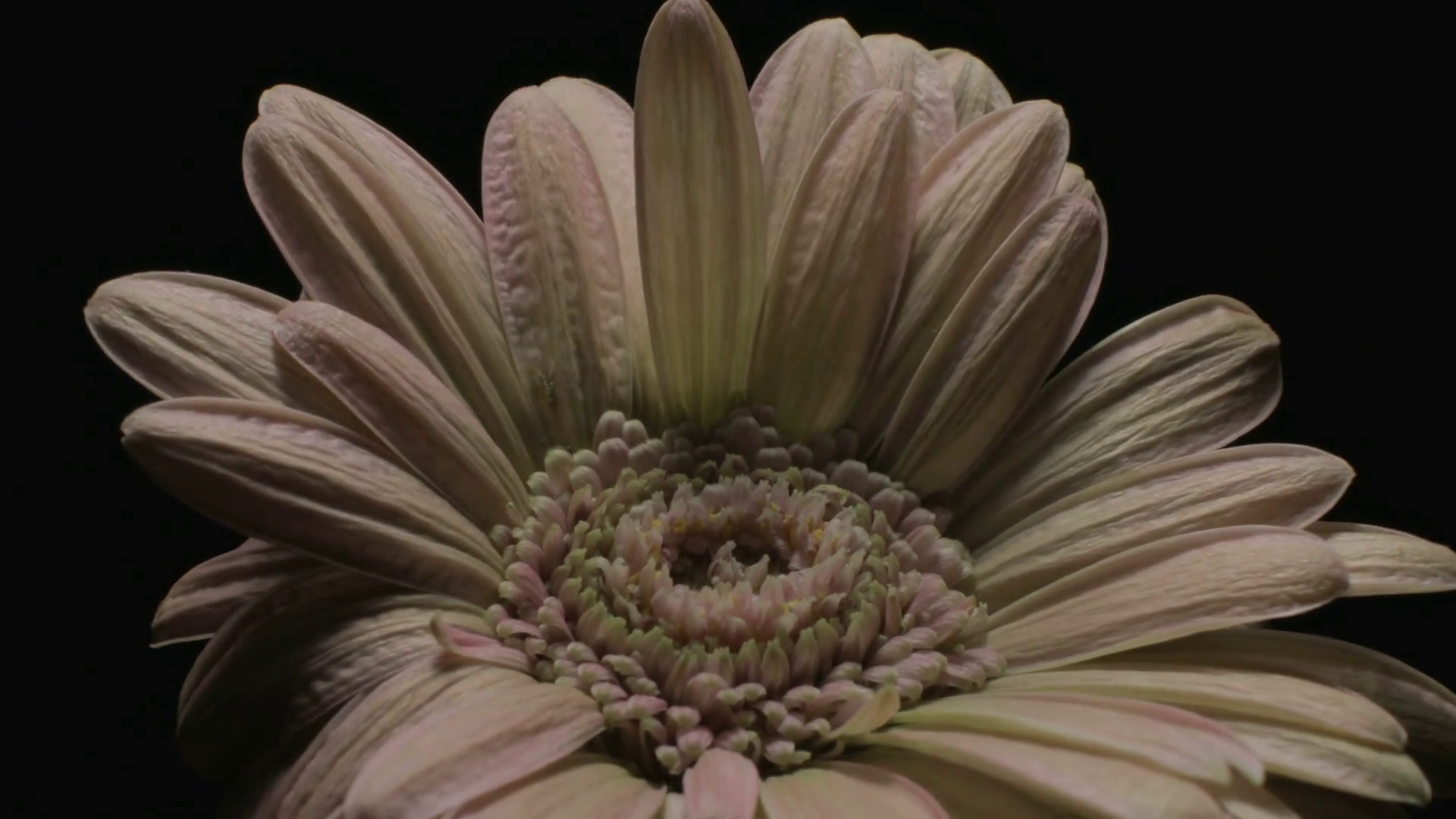 Medium close up motion time lapse shot of a pink Gerbera daisy ...