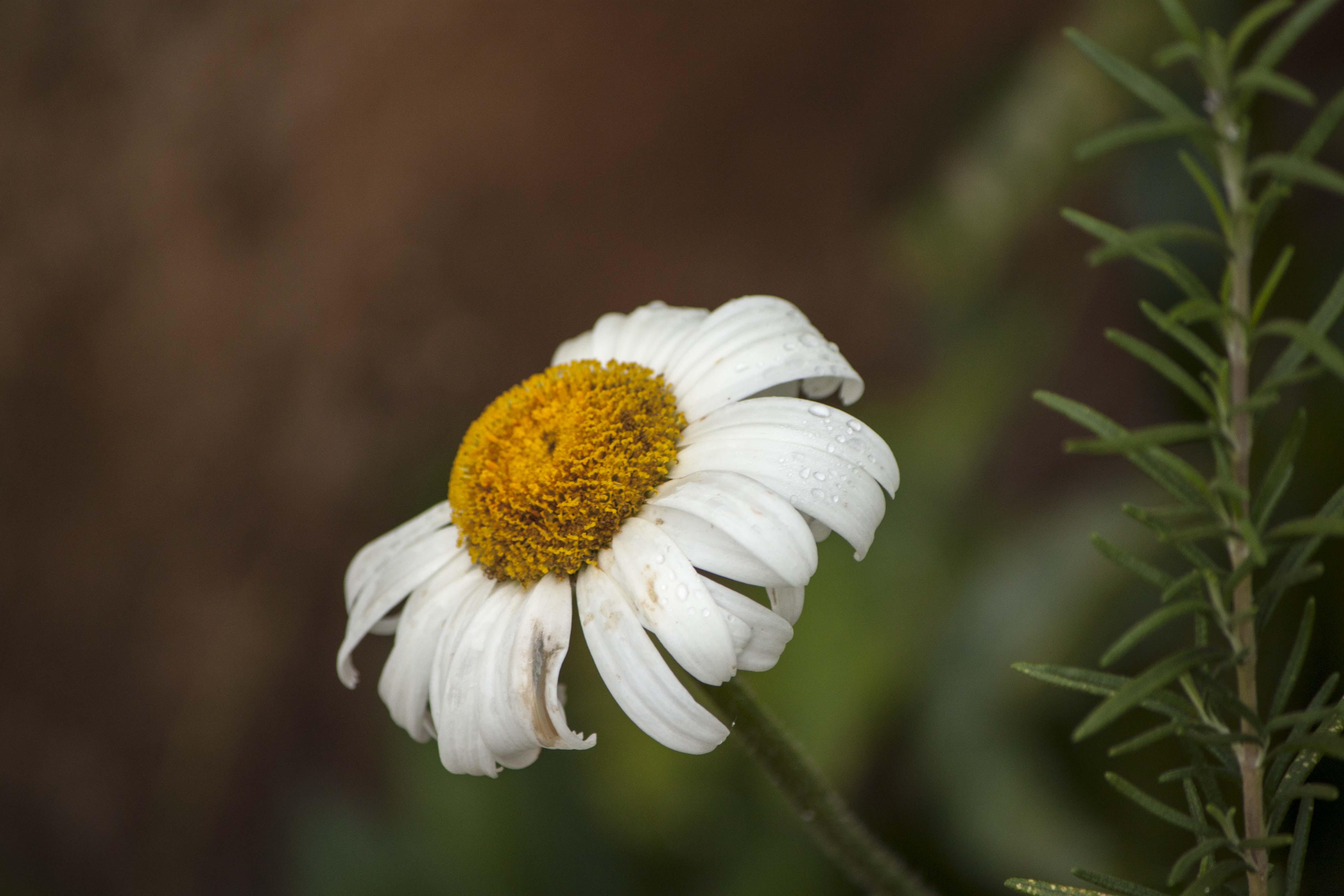 Dying Daisy, Garden, White, Summer, Spring, HQ Photo