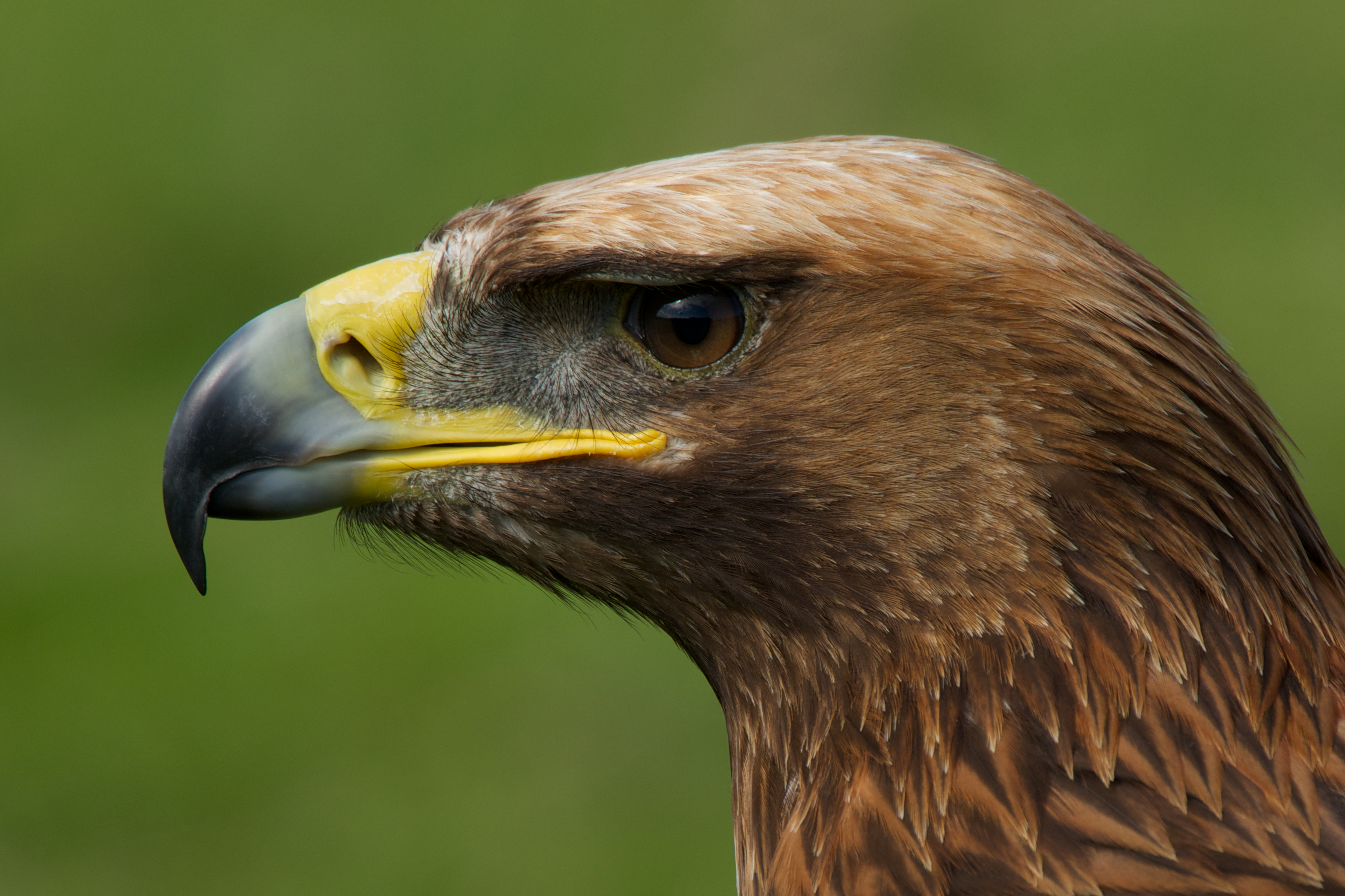 Close-up of golden eagle head in profile | Nick Dale