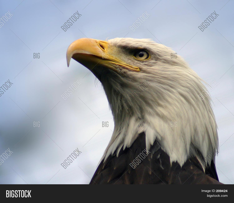 Bald Eagle Profile Image & Photo | Bigstock