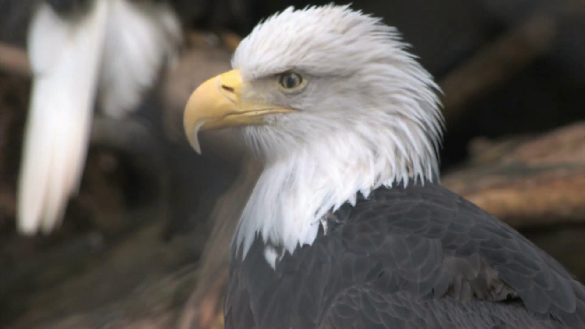 Bald Eagle profile close up Stock Video Footage - VideoBlocks