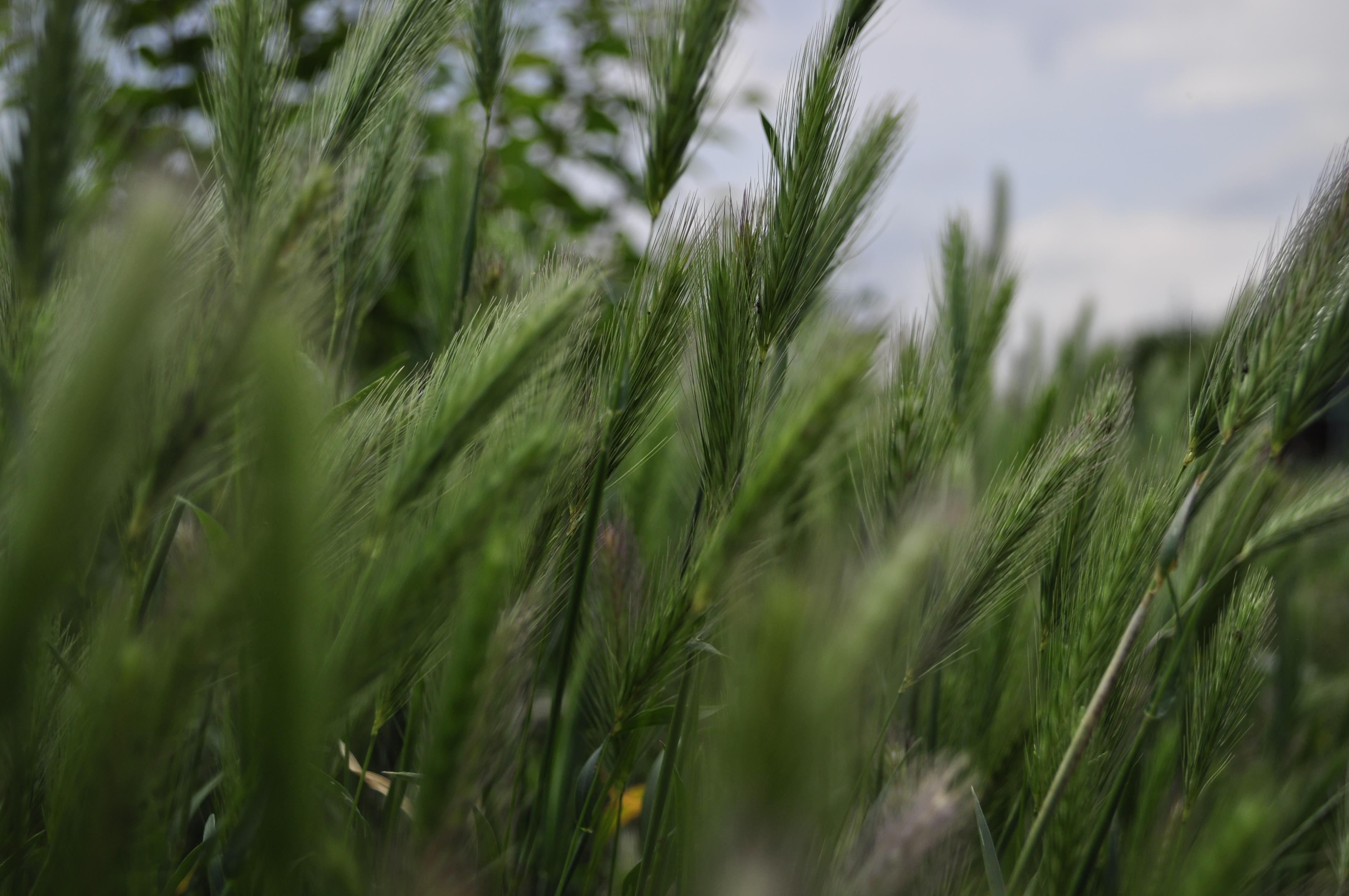 Ears, Closeup, Crops, Field, Green, HQ Photo