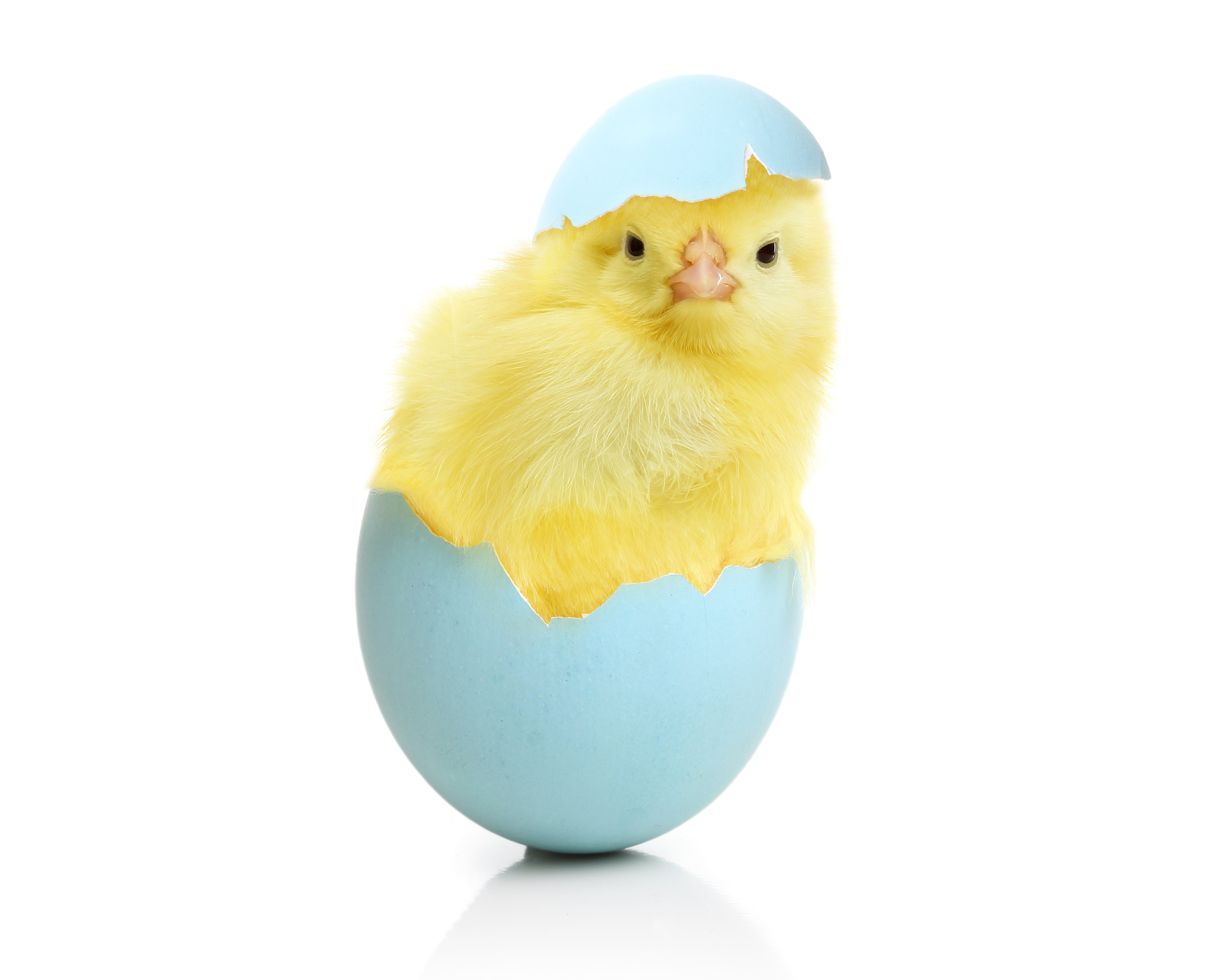 Chicken Eggs Animals egg easter chick baby wallpaper | 5200x4160 ...