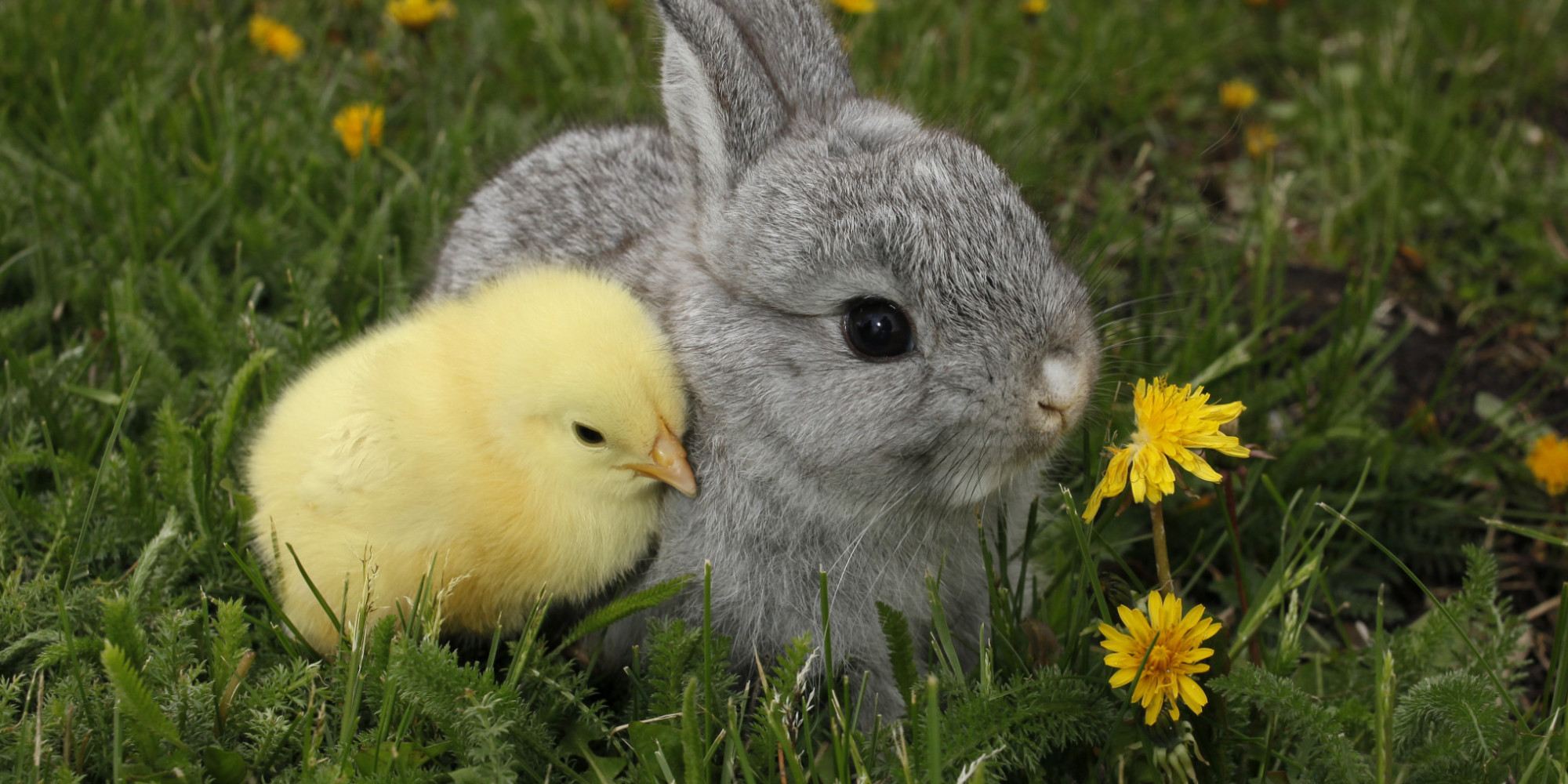 Here's What Can Happen To Those Unwanted Easter Bunnies And Chickens ...