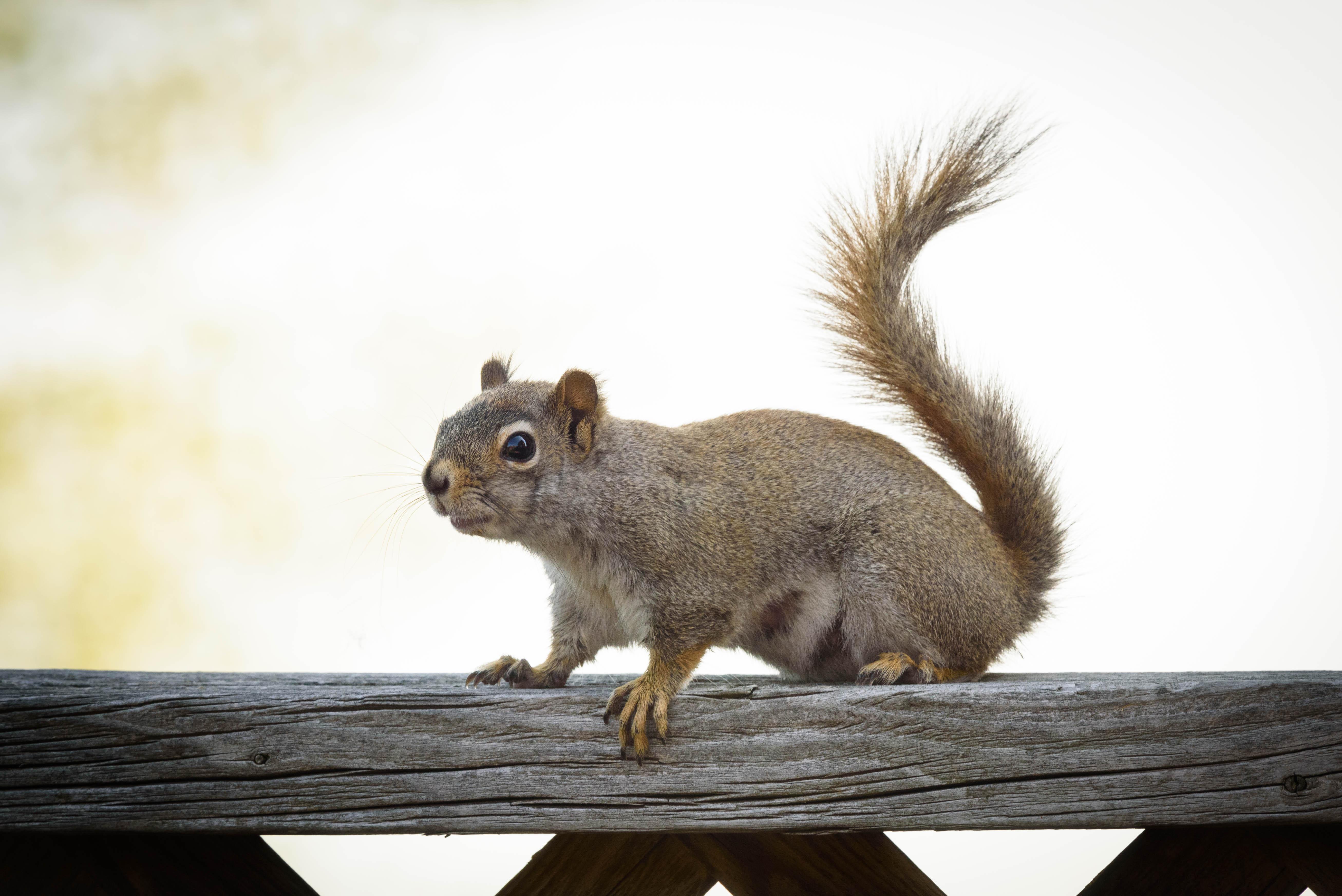 Eastern grey squirrel photo