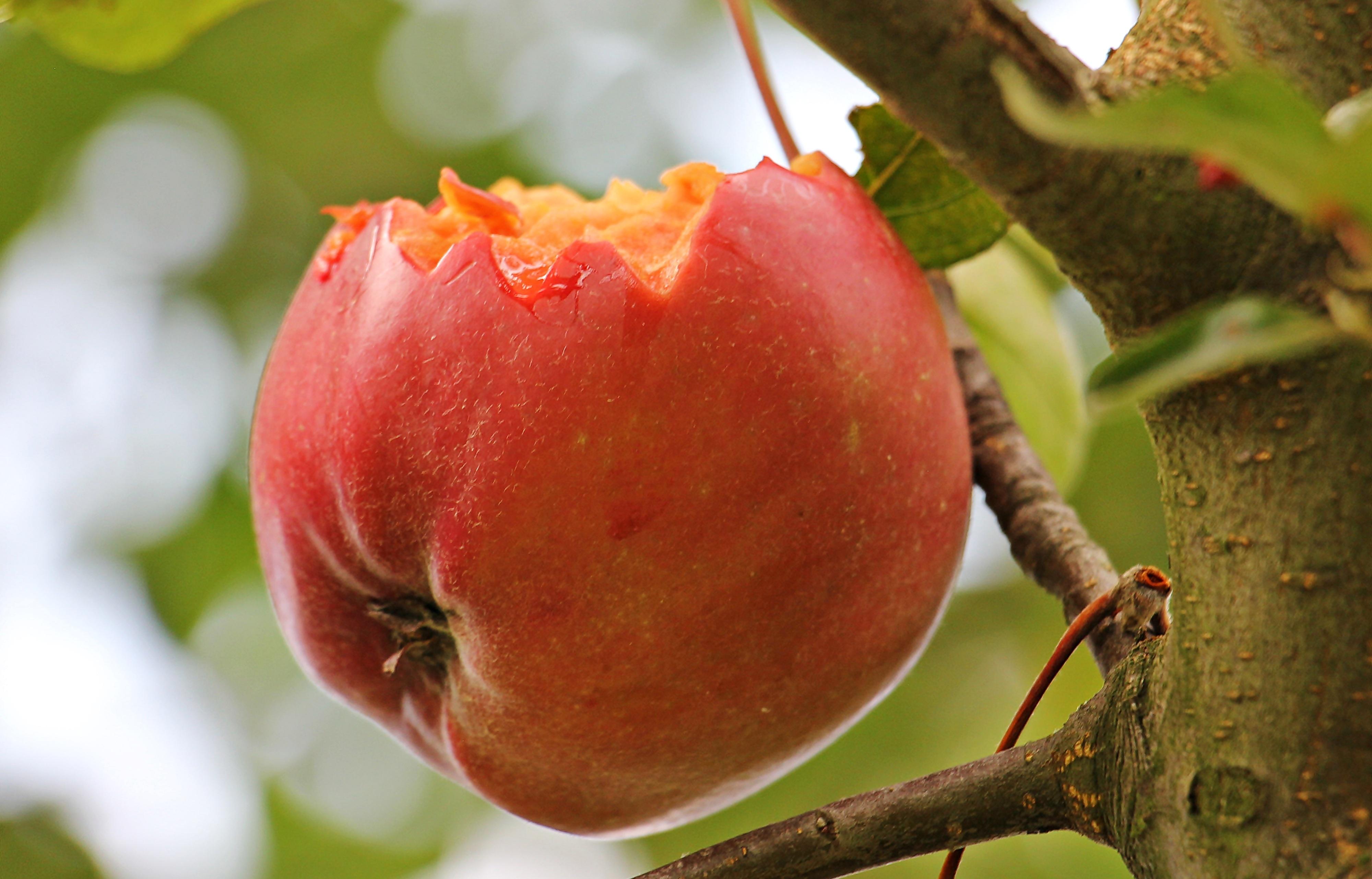 Eaten apple photo