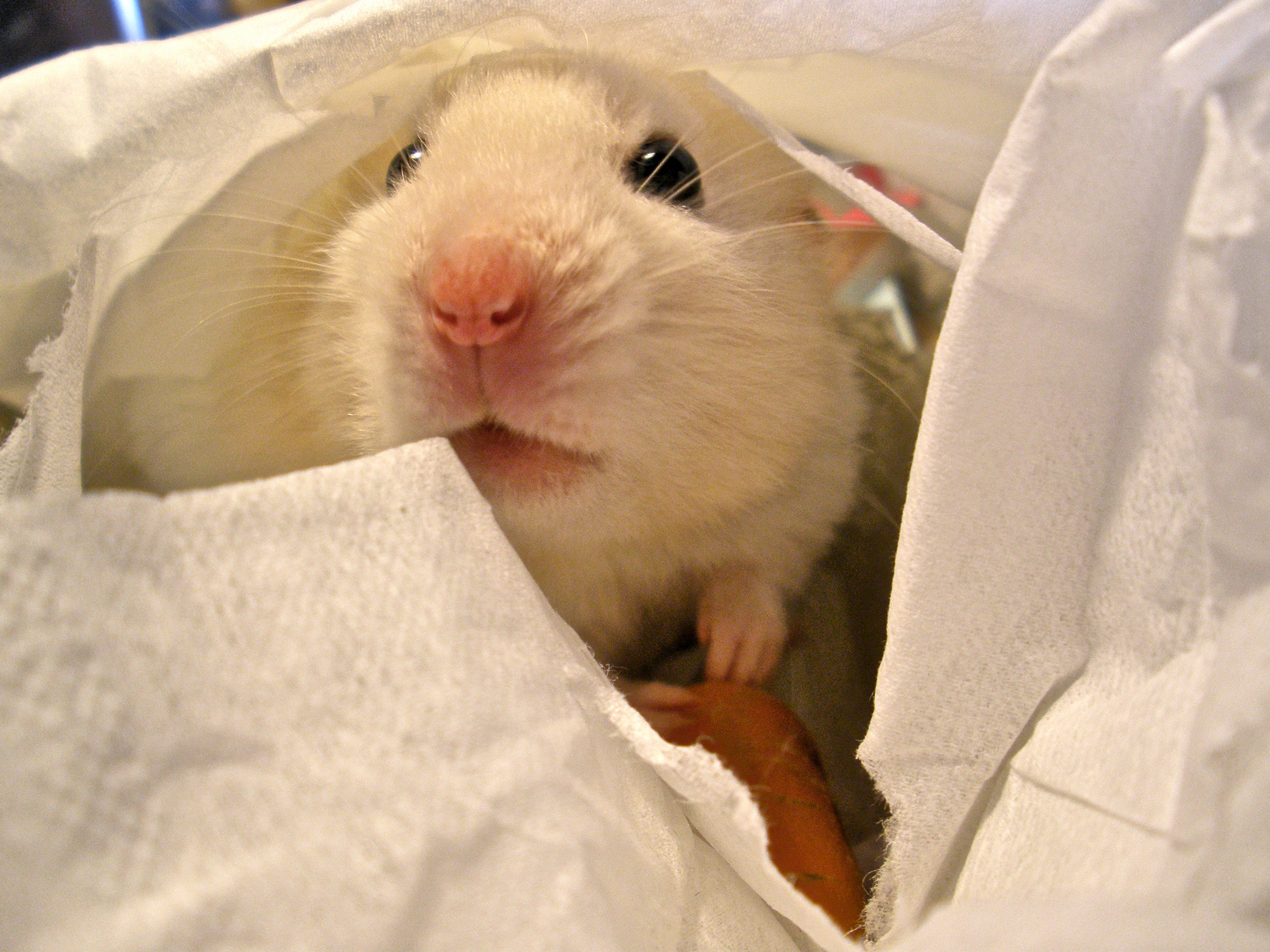 Eating a carrot in bed (EXPLORE), Adorable, Nose, White, Video, HQ Photo