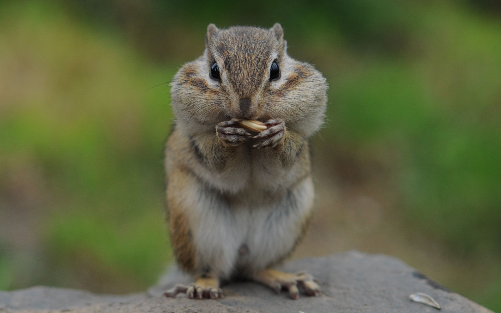 Eating chipmunk photo