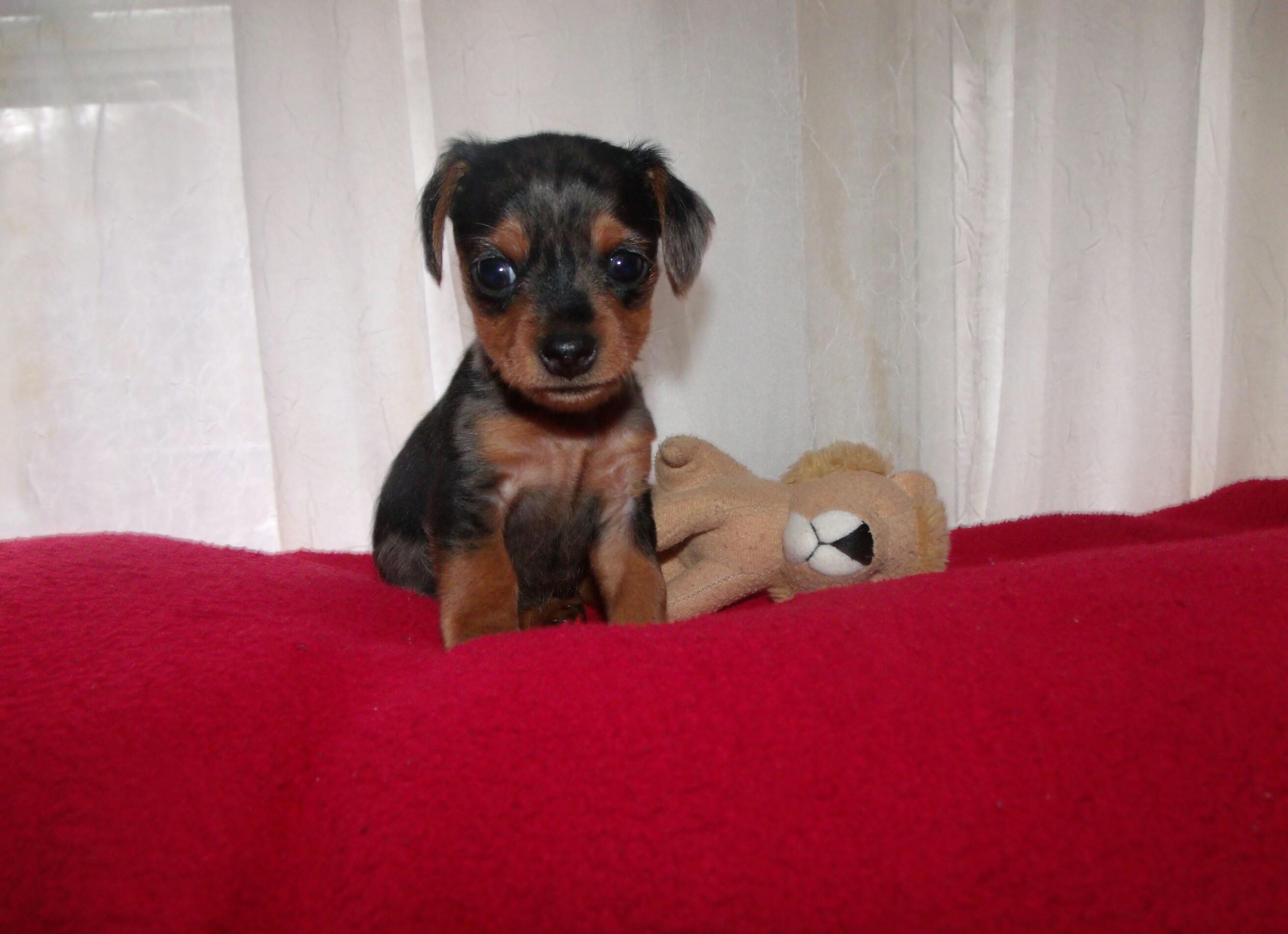 Free Photo Eenie Weenie Puppy Love Yorkie Dachshund Free