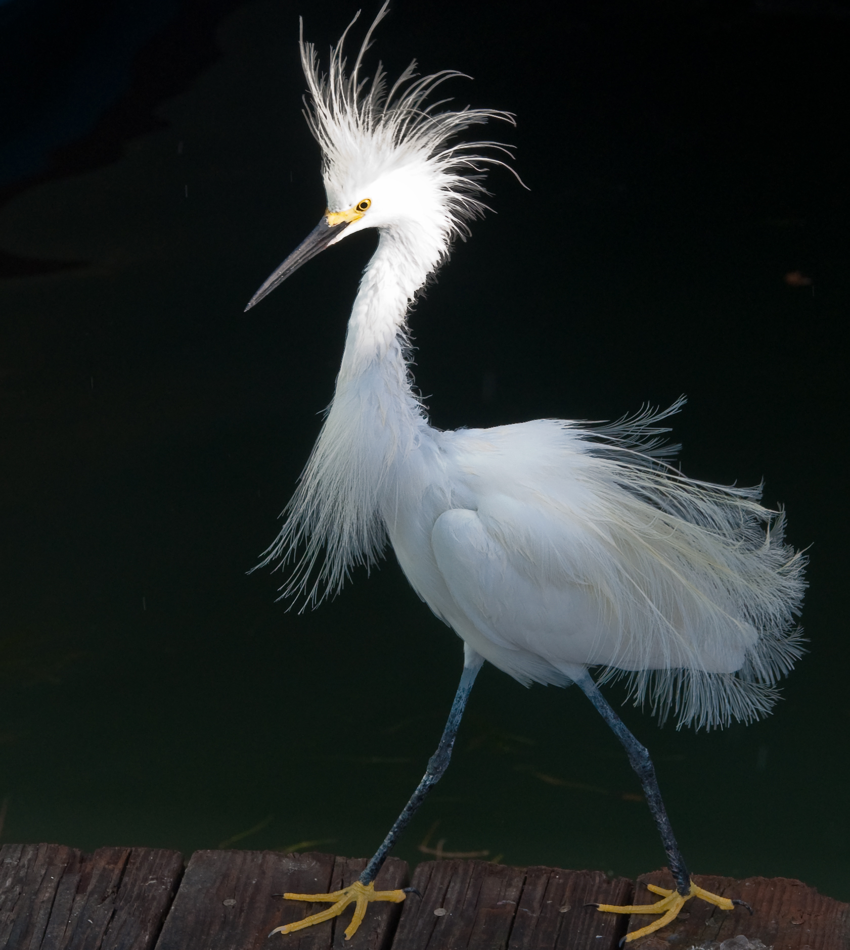 Snowy egret photo