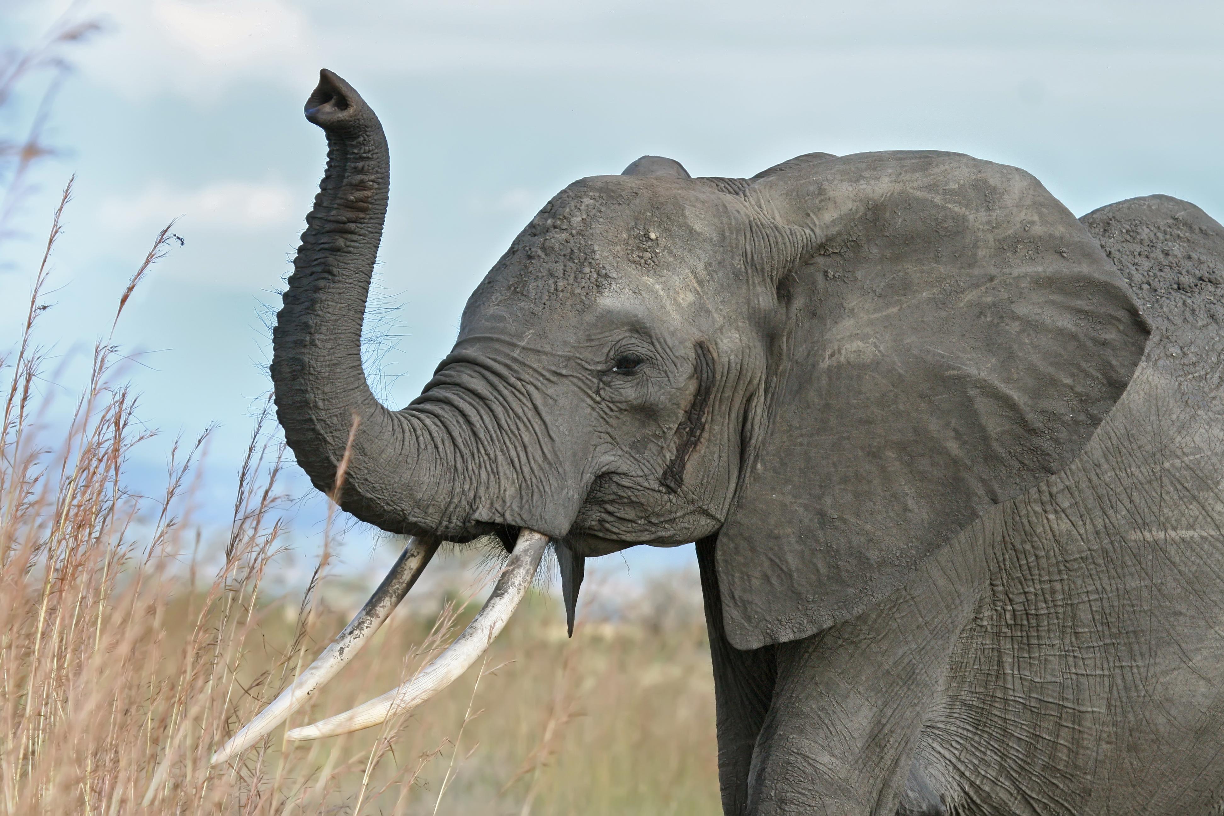 Elephant - Wikipedia