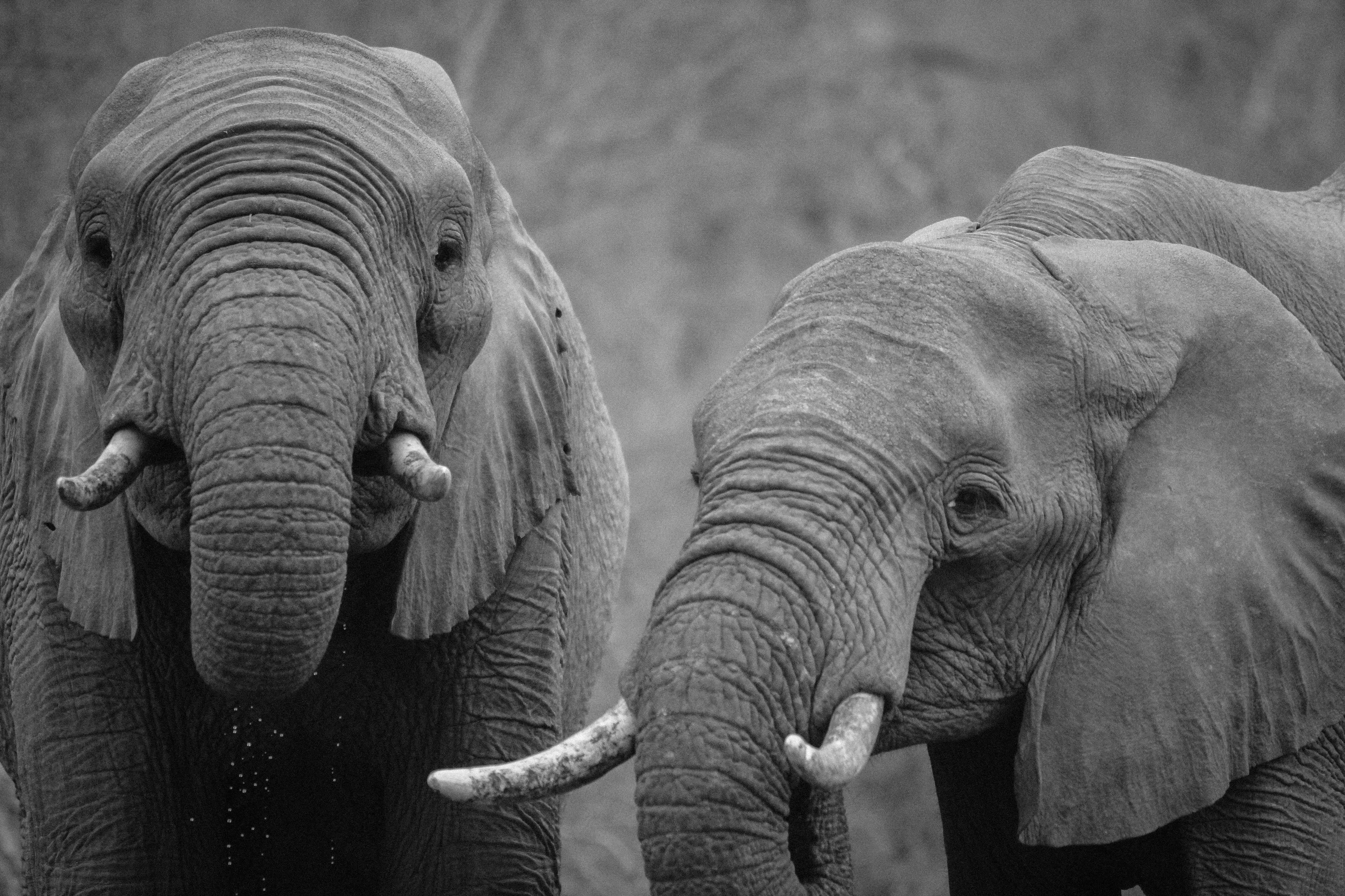 Elephant, Animal, Black, Ivory, White, HQ Photo