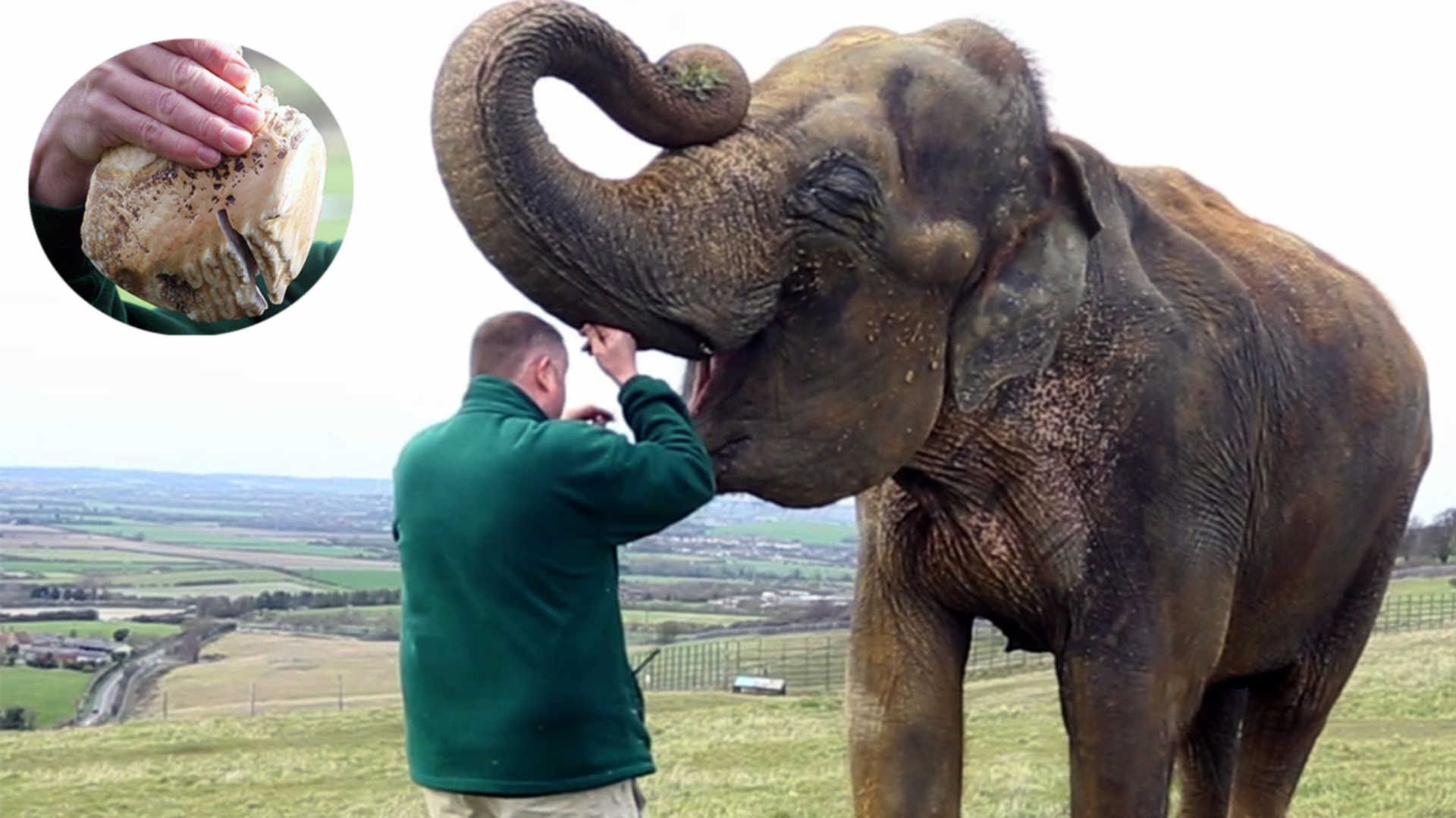 Elephant With Tooth Pain Has It Removed - YouTube