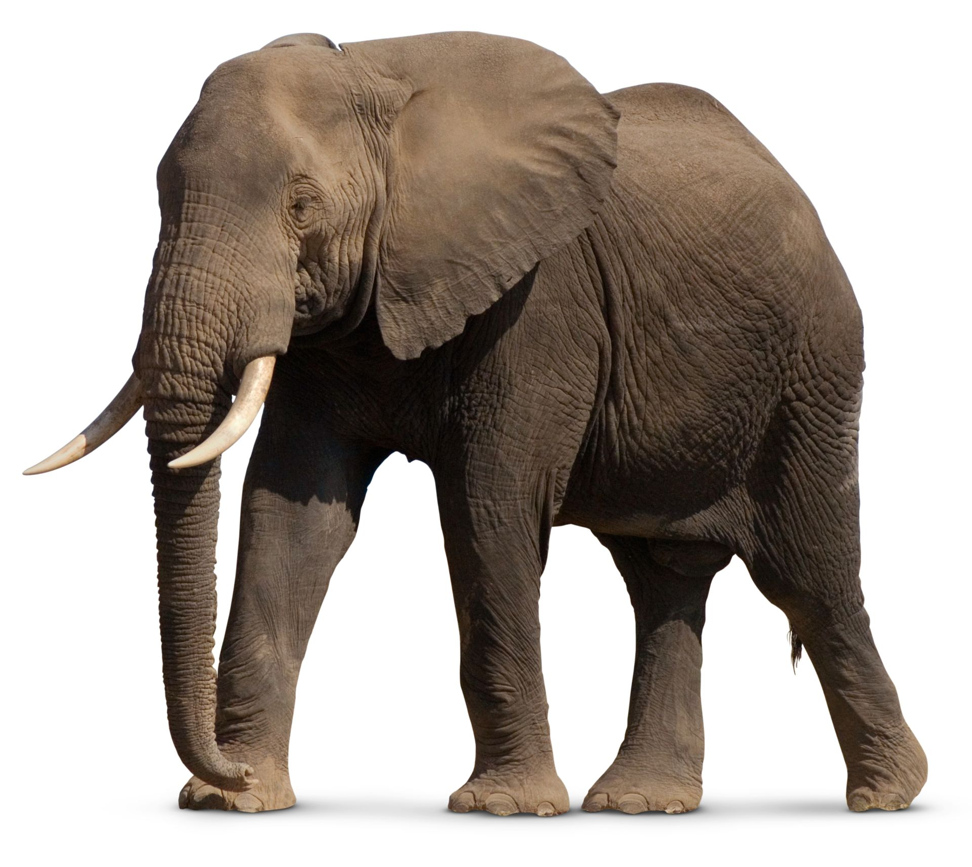 Facts About Elephants | Types of Elephants | DK Find Out
